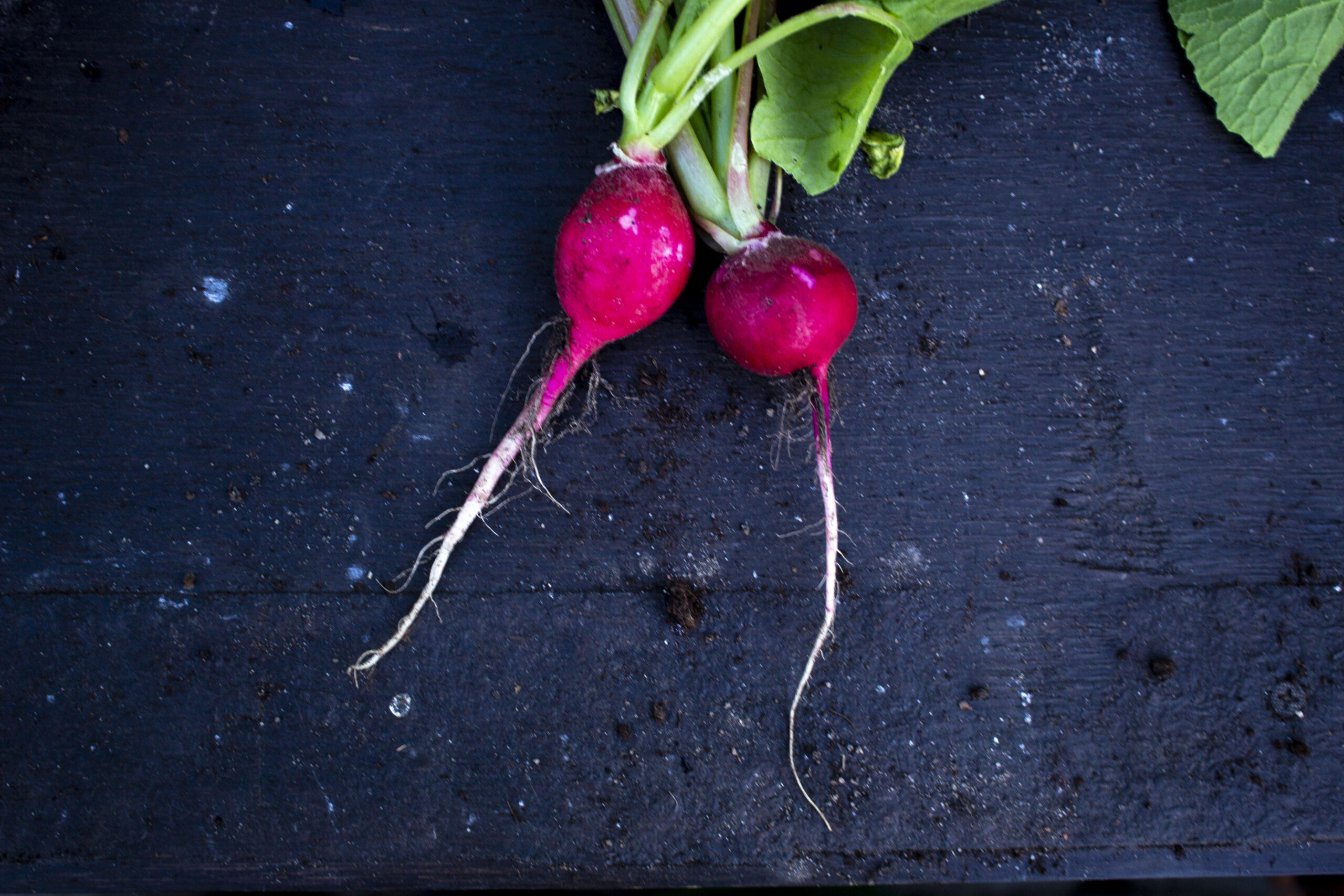 Dyrkning af radiser fra frø til høst