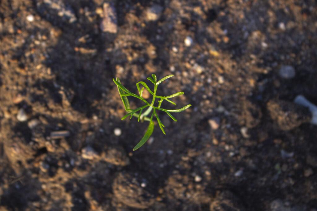 Når du skal plante fennikel