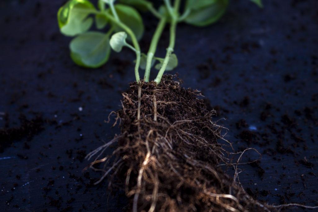 dyrkning af basilikum