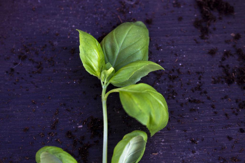 dyrkning basilikum