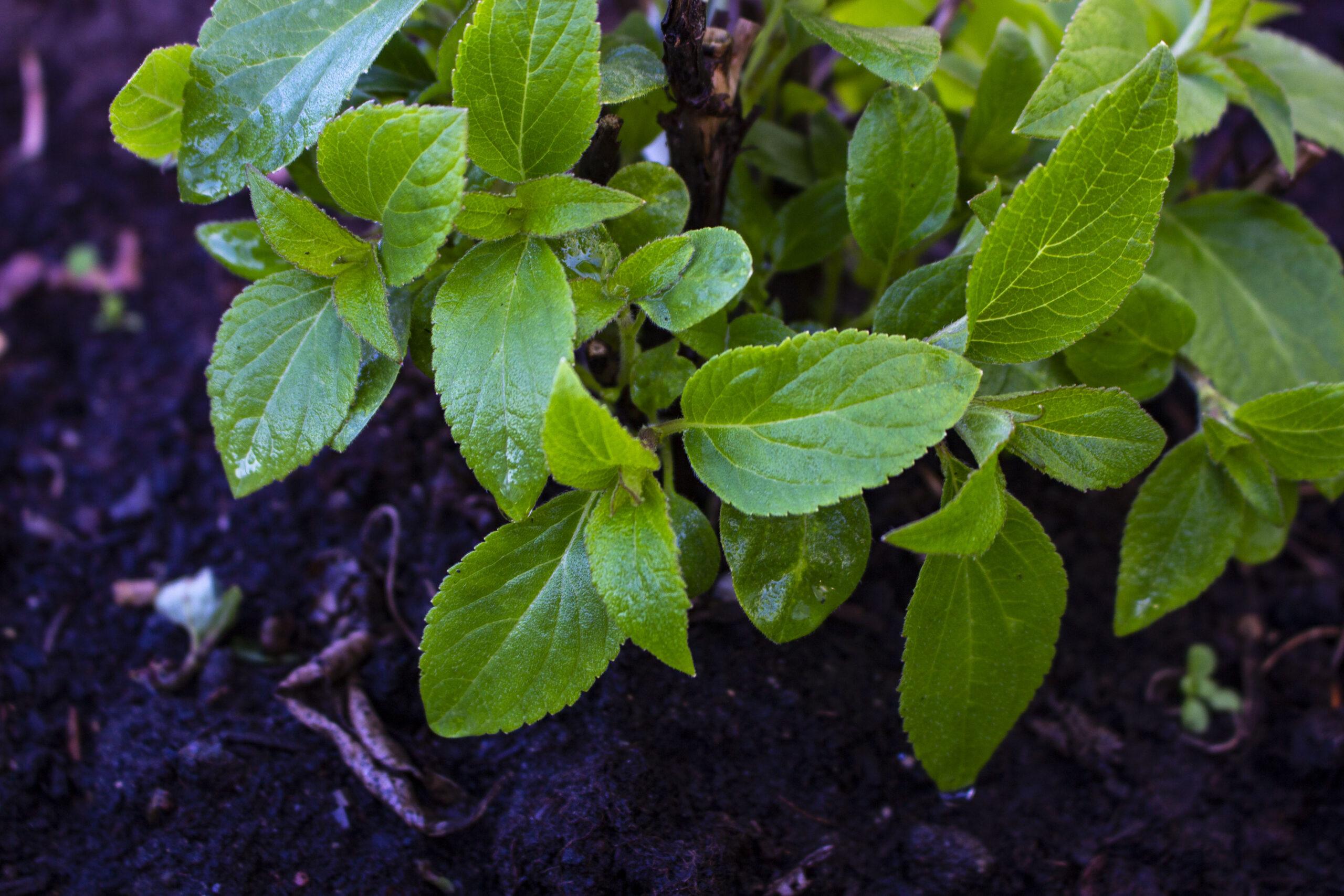 ananassalvie krydderurter i haven