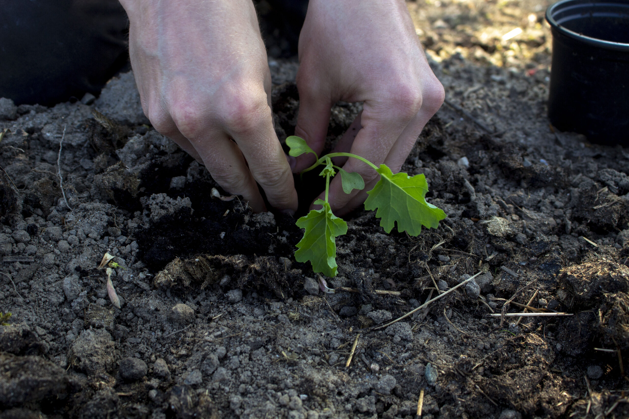 udplantning af forspirede planter