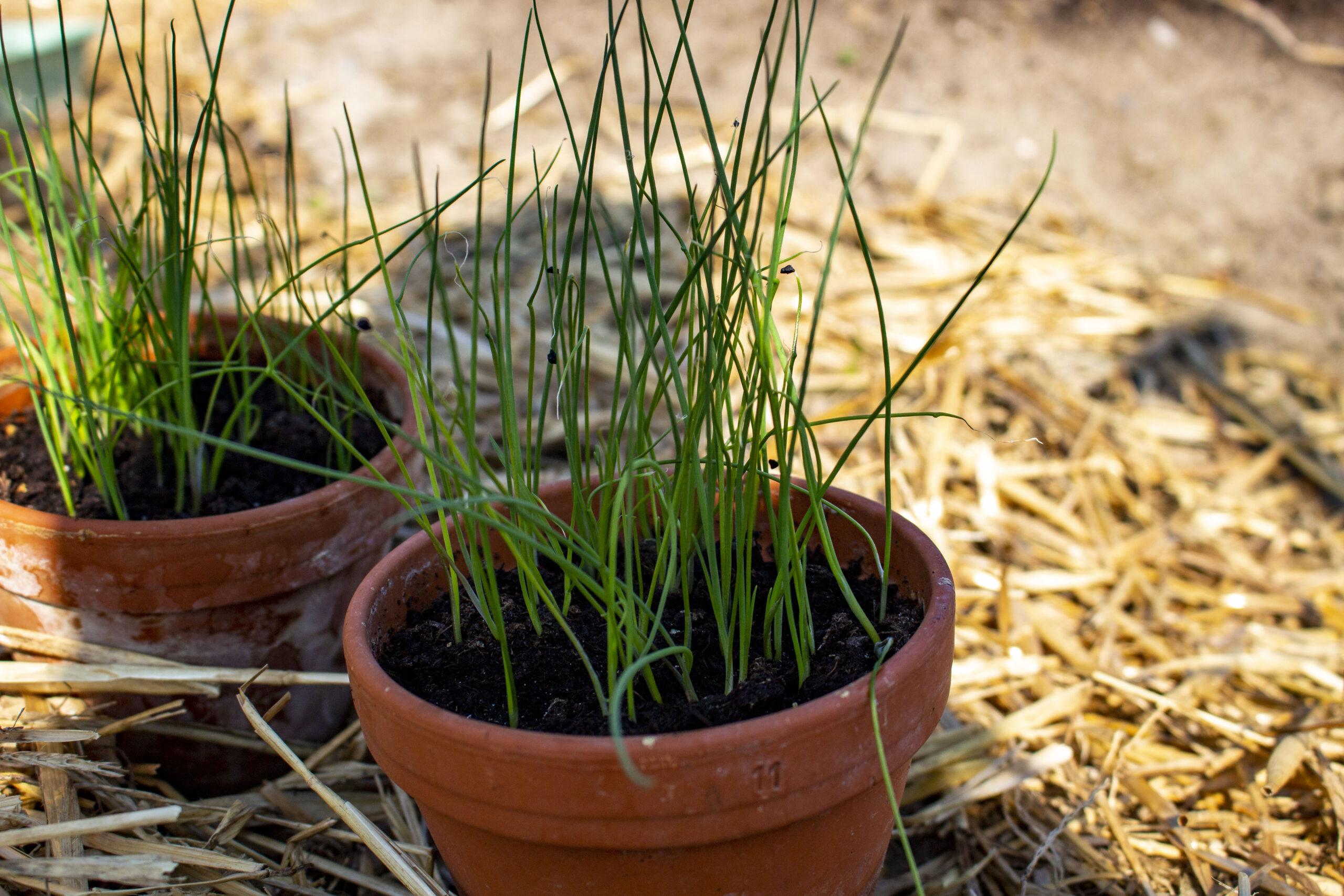såning og udplantning i haven