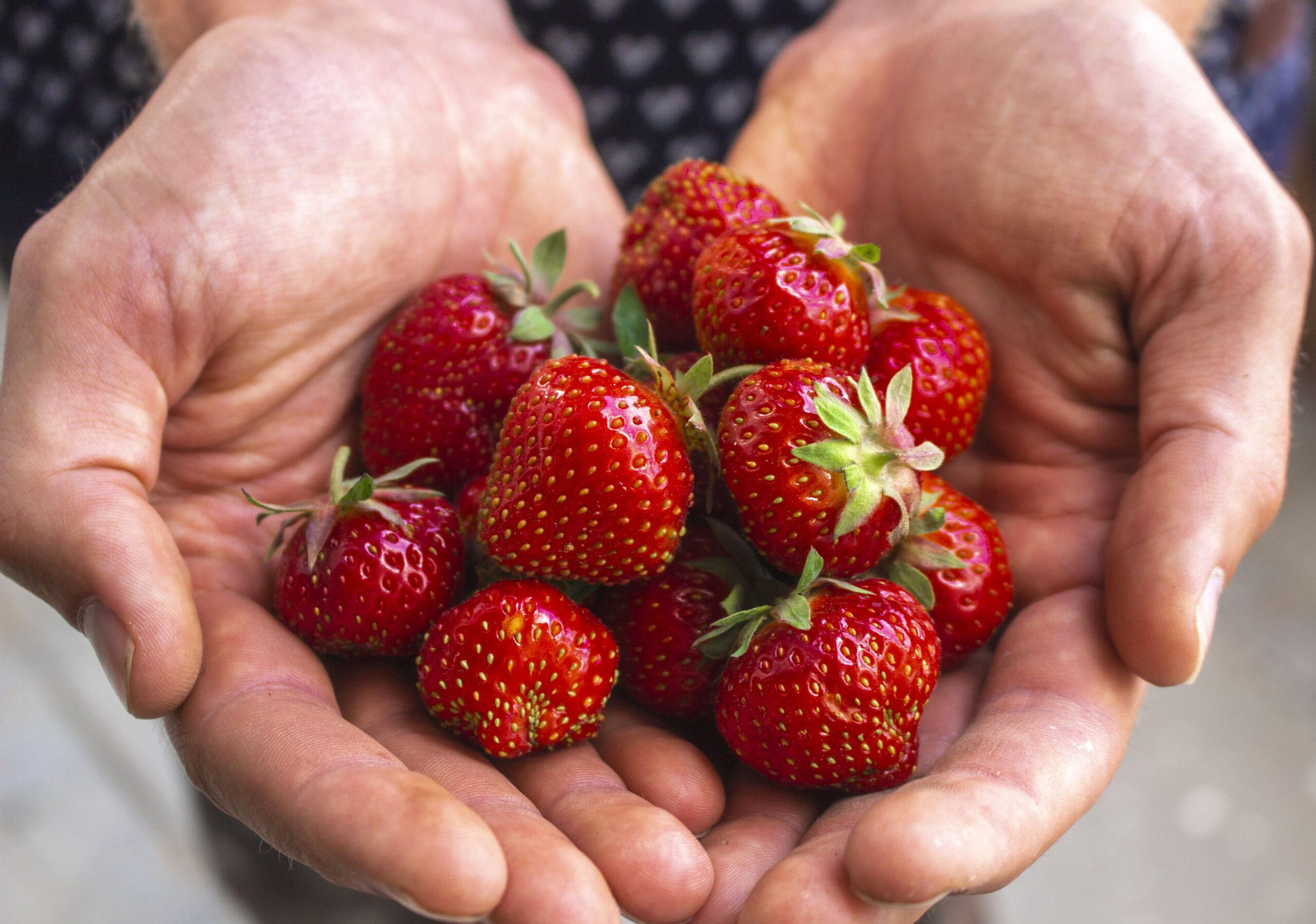 Smagen af sommer er jordbær i haven