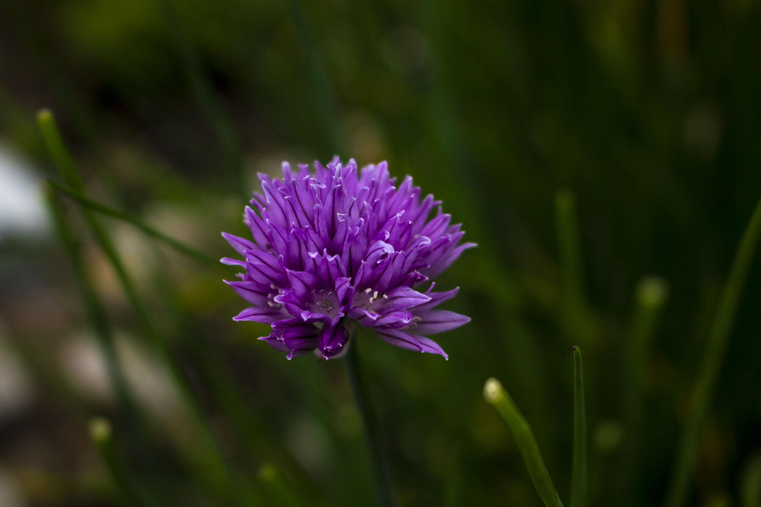 Purløg – Allium schoenoprasum