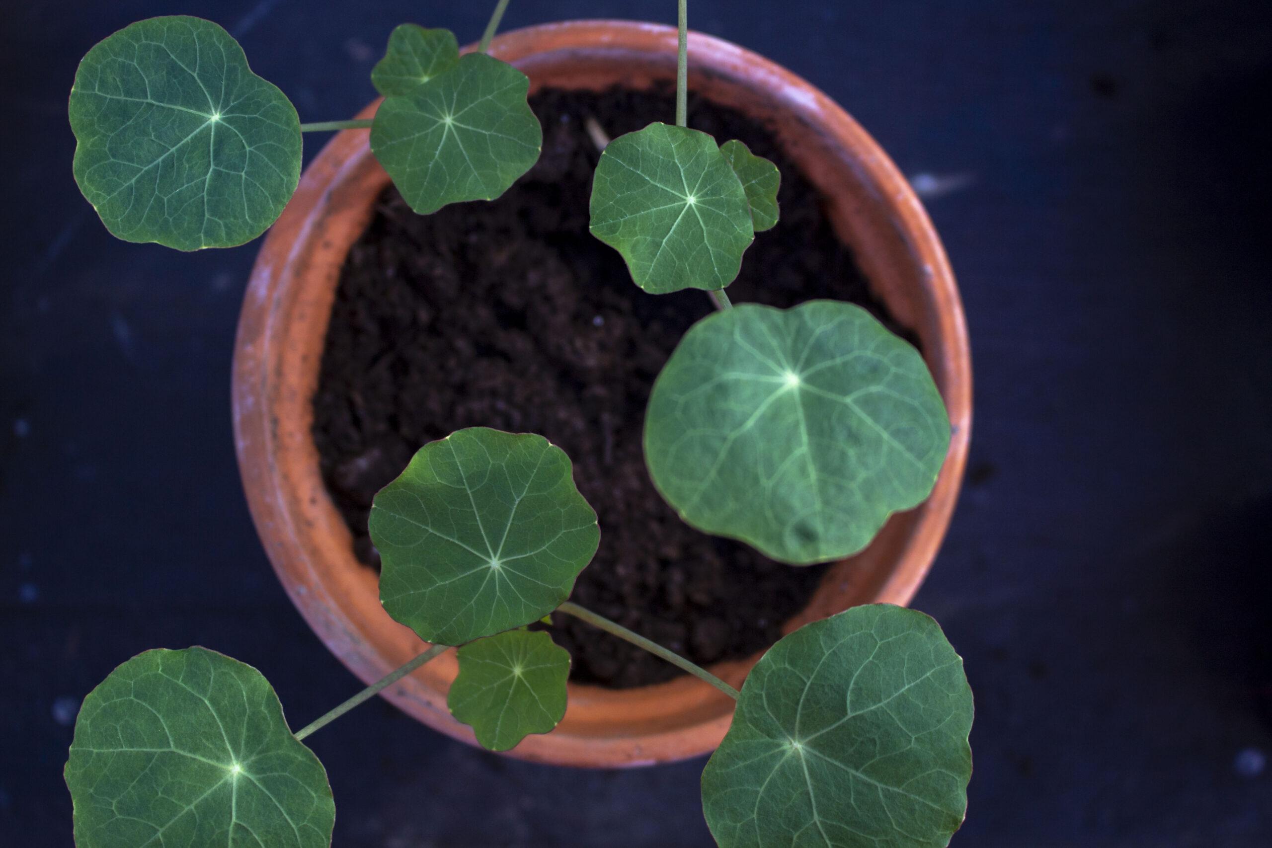Forspiring & udplantning