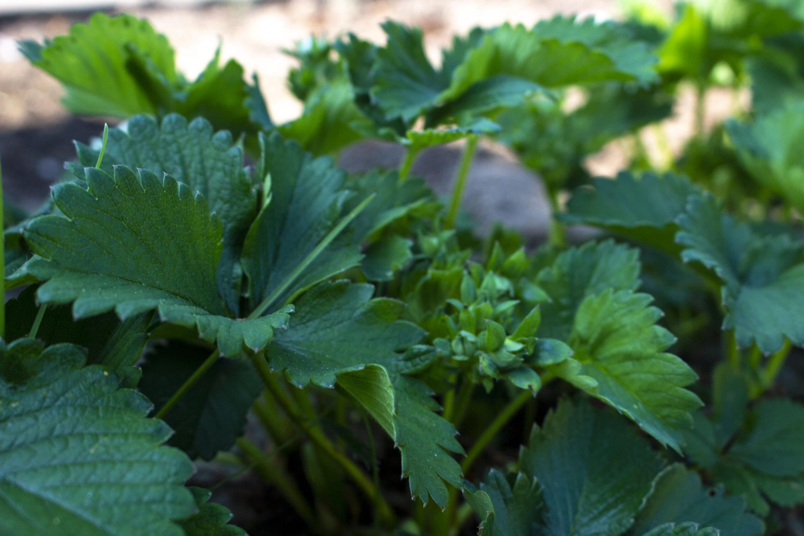 Omplantning af jordbær