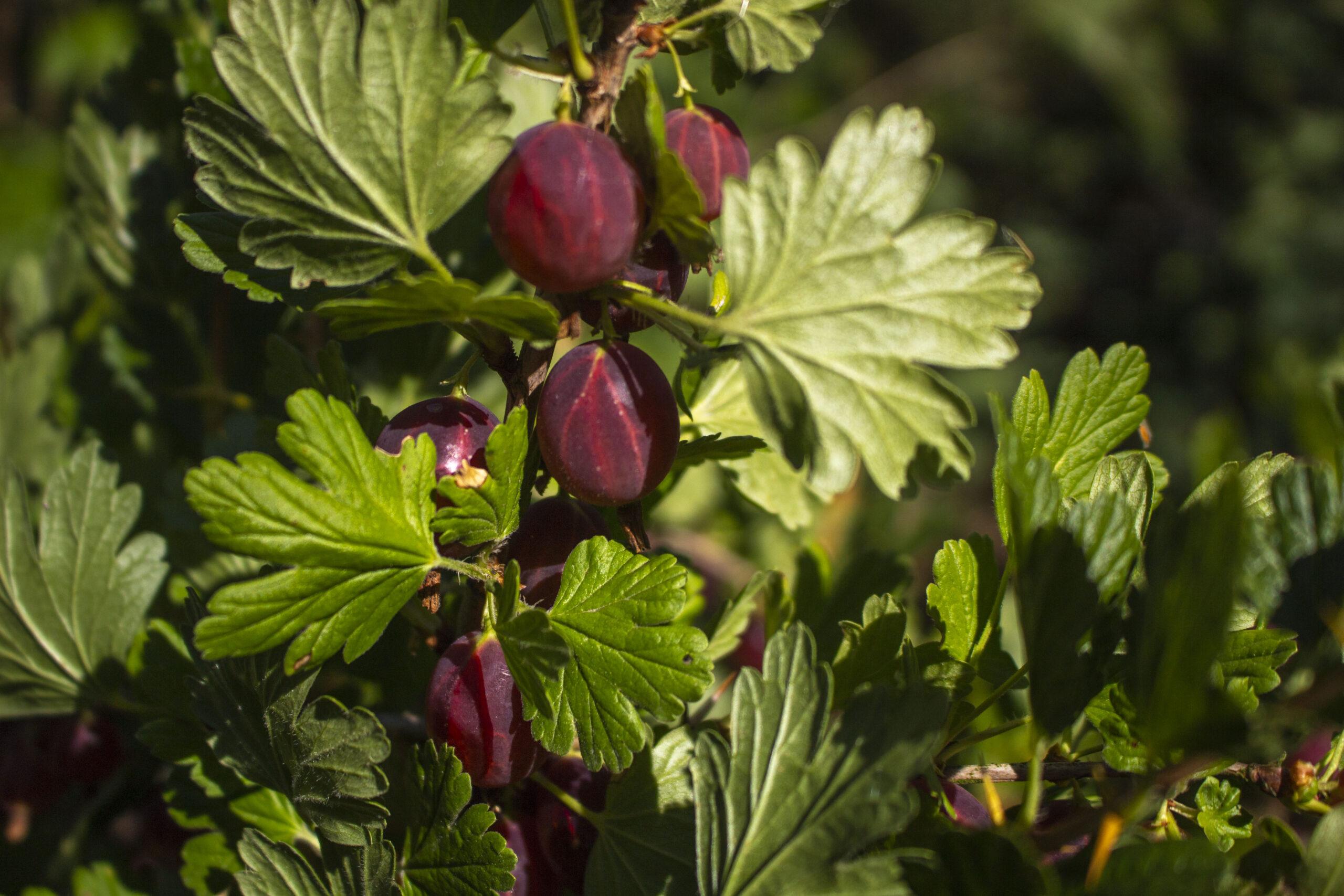 Stikkelsbærdræber & resistente sorter