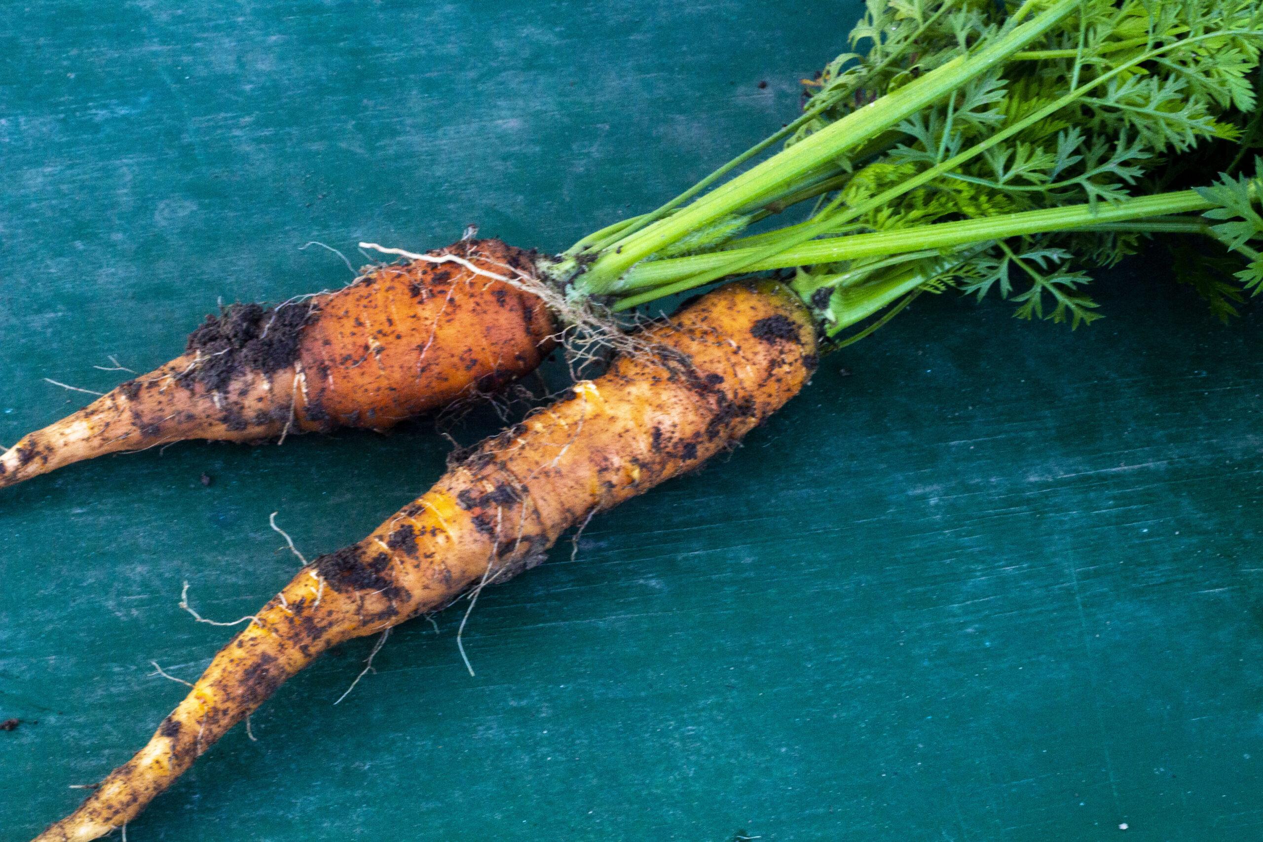 Så skal der gulerodsfrø i jorden