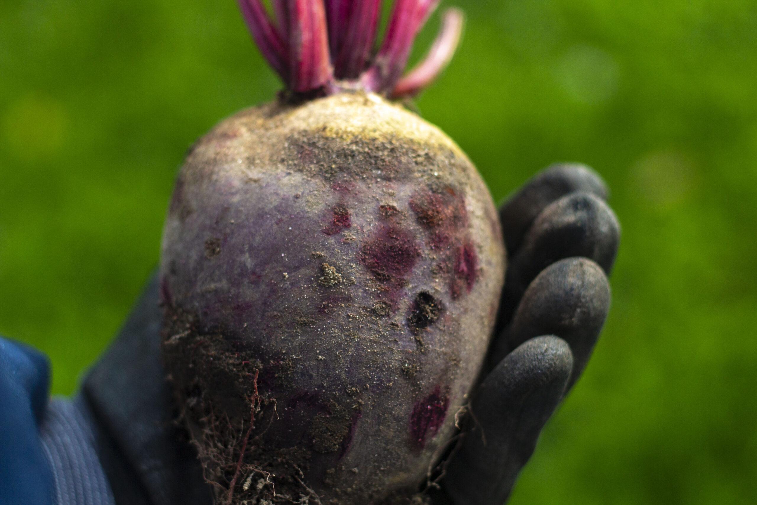 Høst & opbevaring af rødbeder