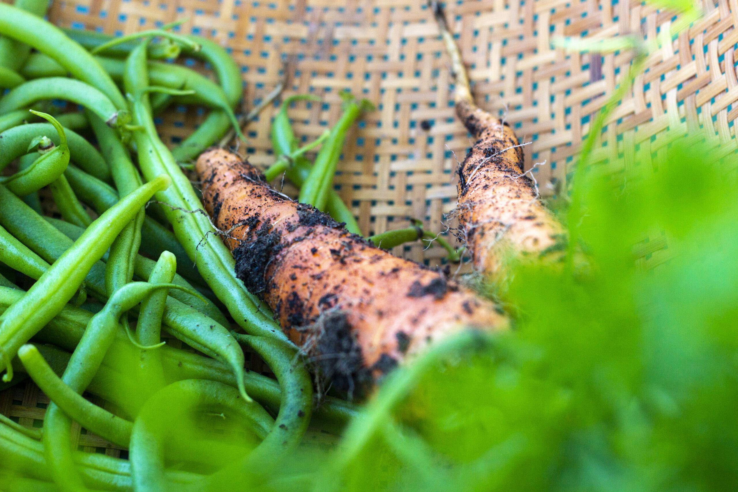 Tid til at høste gulerødder