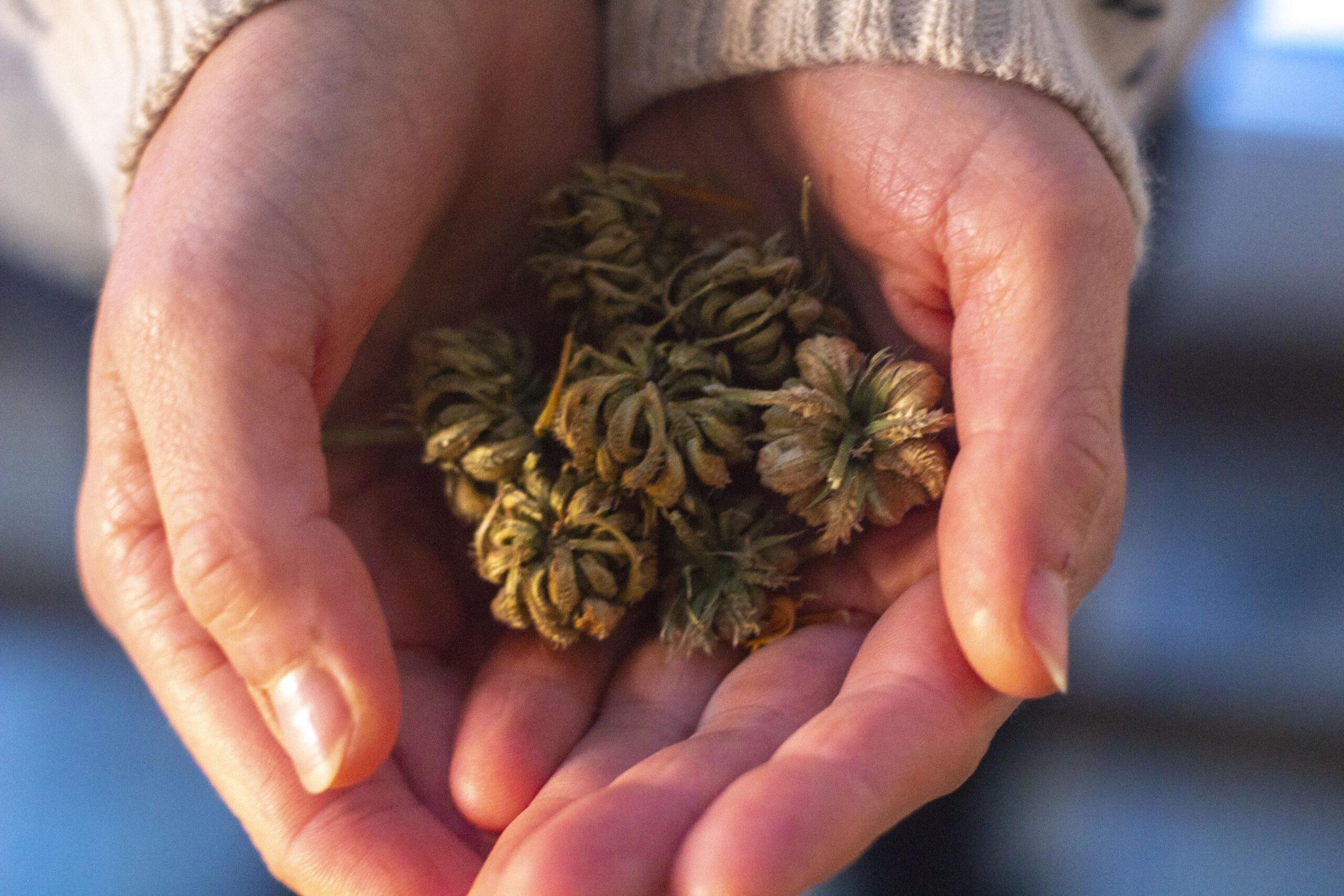 Tag frø fra morgenfruer i efteråret