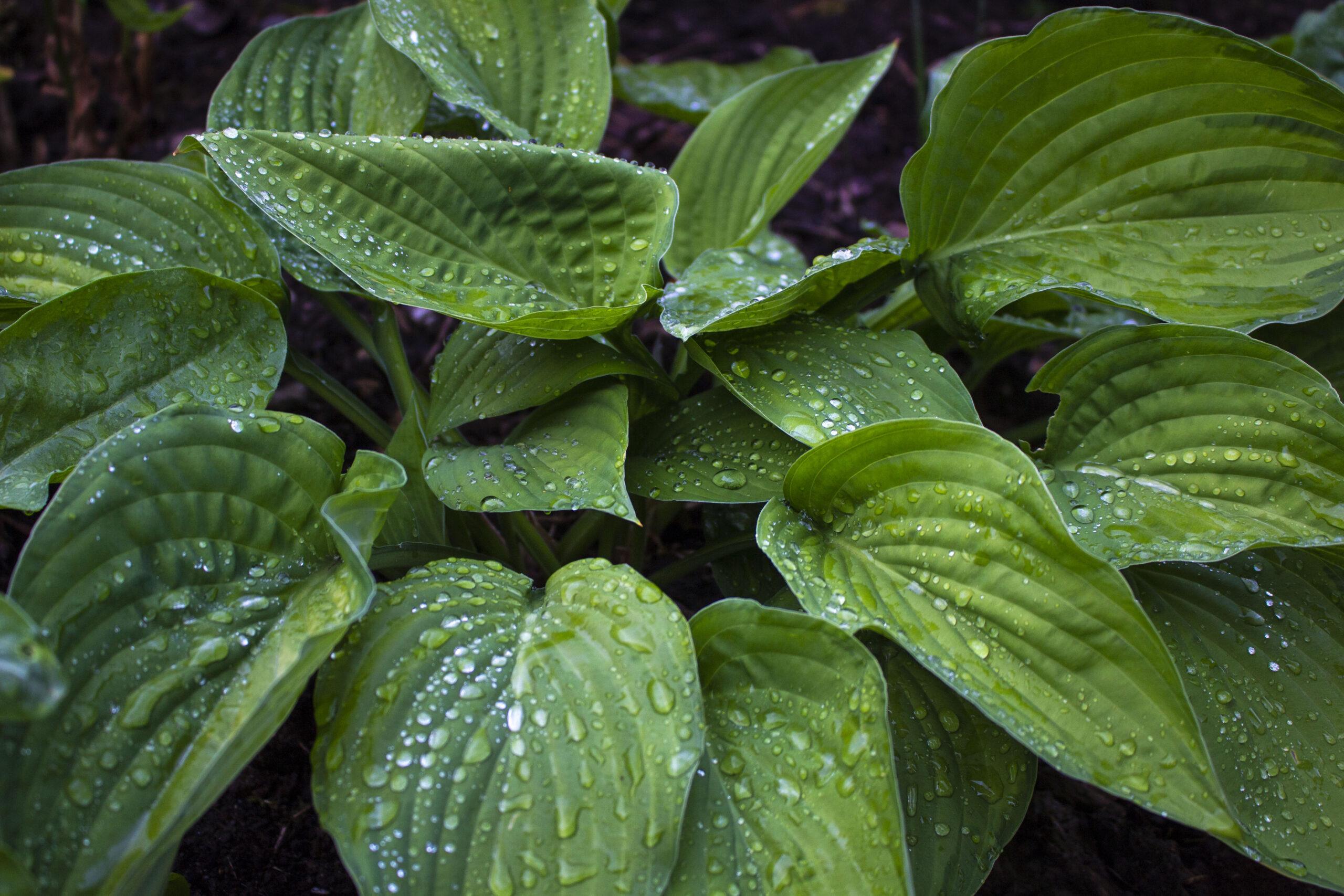 Hvor skal du plante hosta