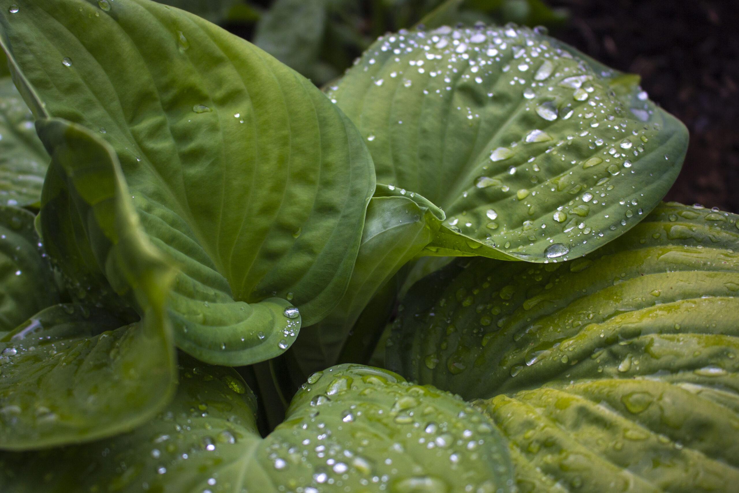 Jord & gødning til hosta