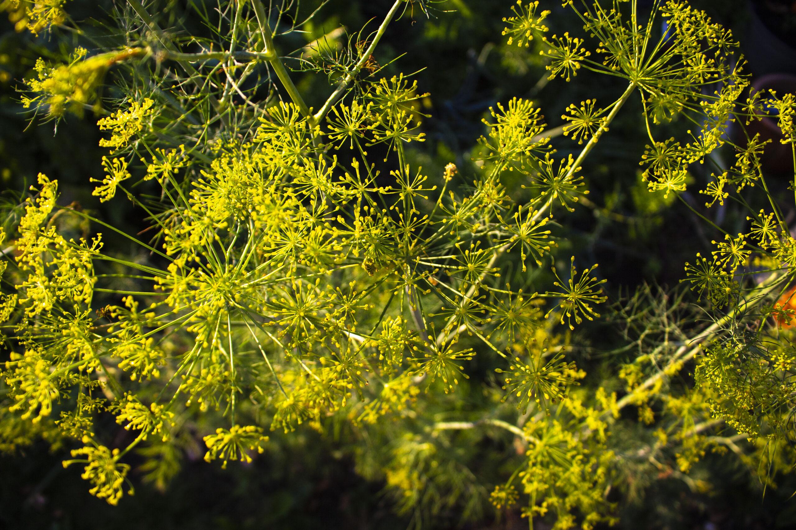 Dild – Et krydderi med muligheder