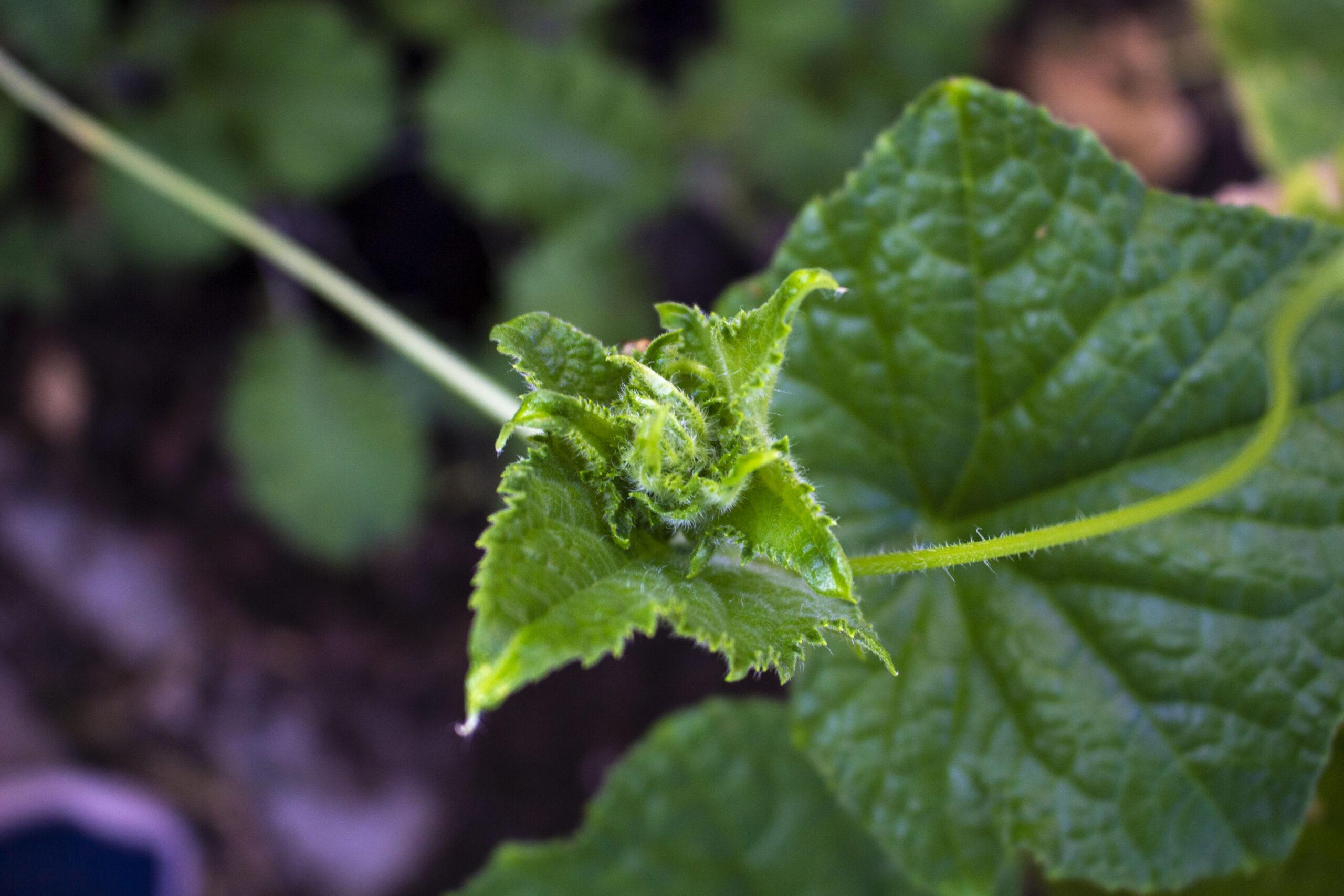 Temperatur til agurker i drivhus