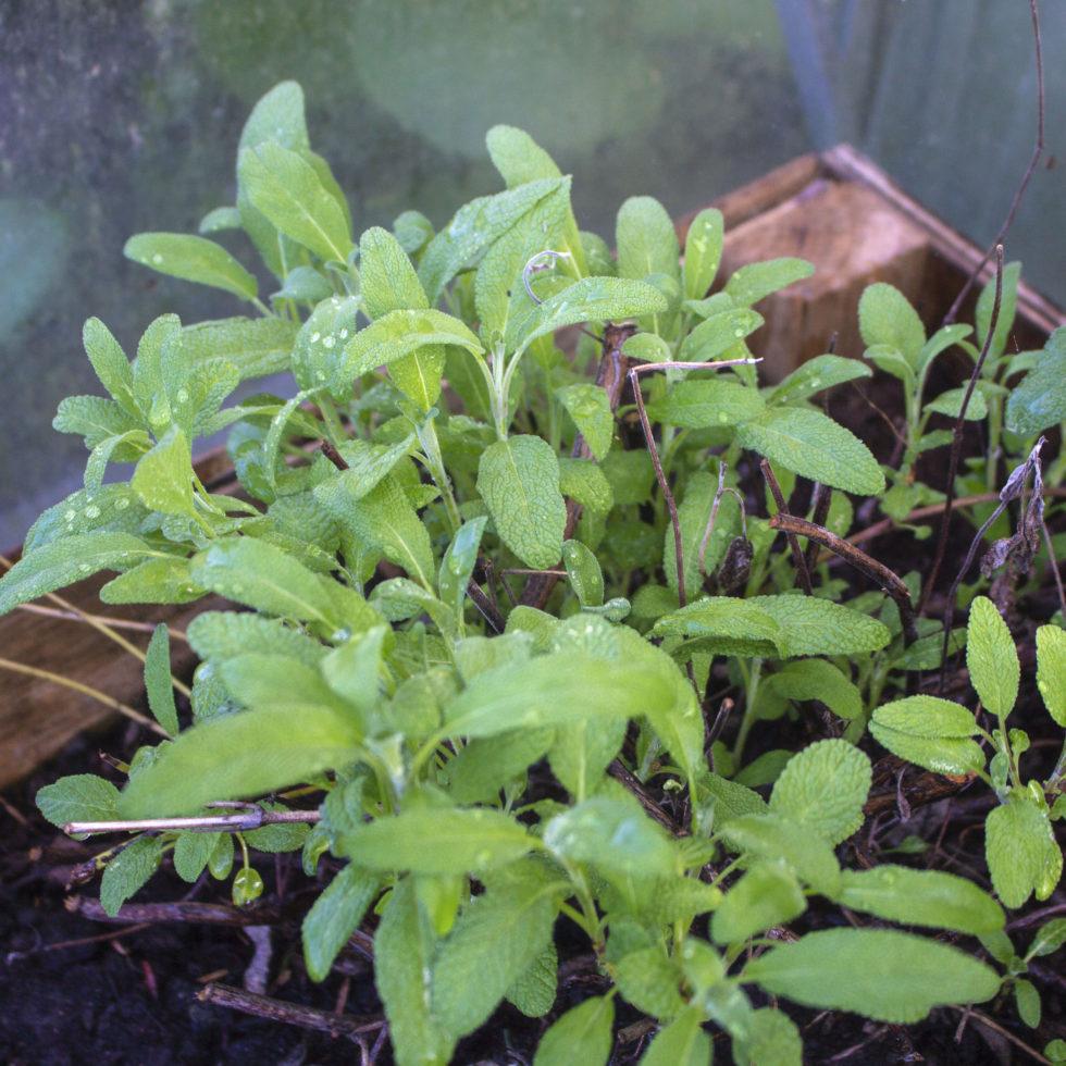 Salvie – En duftende krydderurt