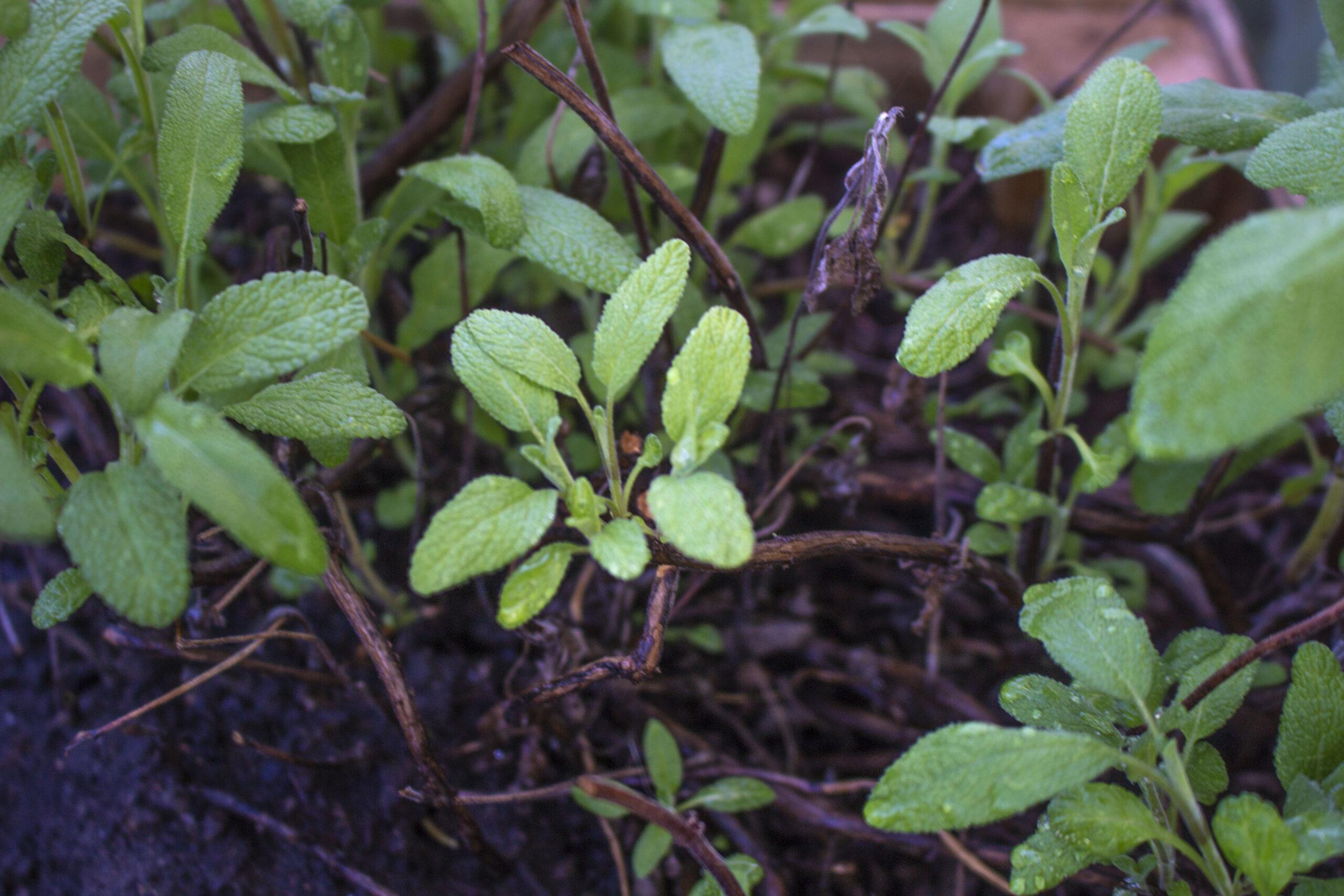 Salvie – En dejlig krydderurt i haven