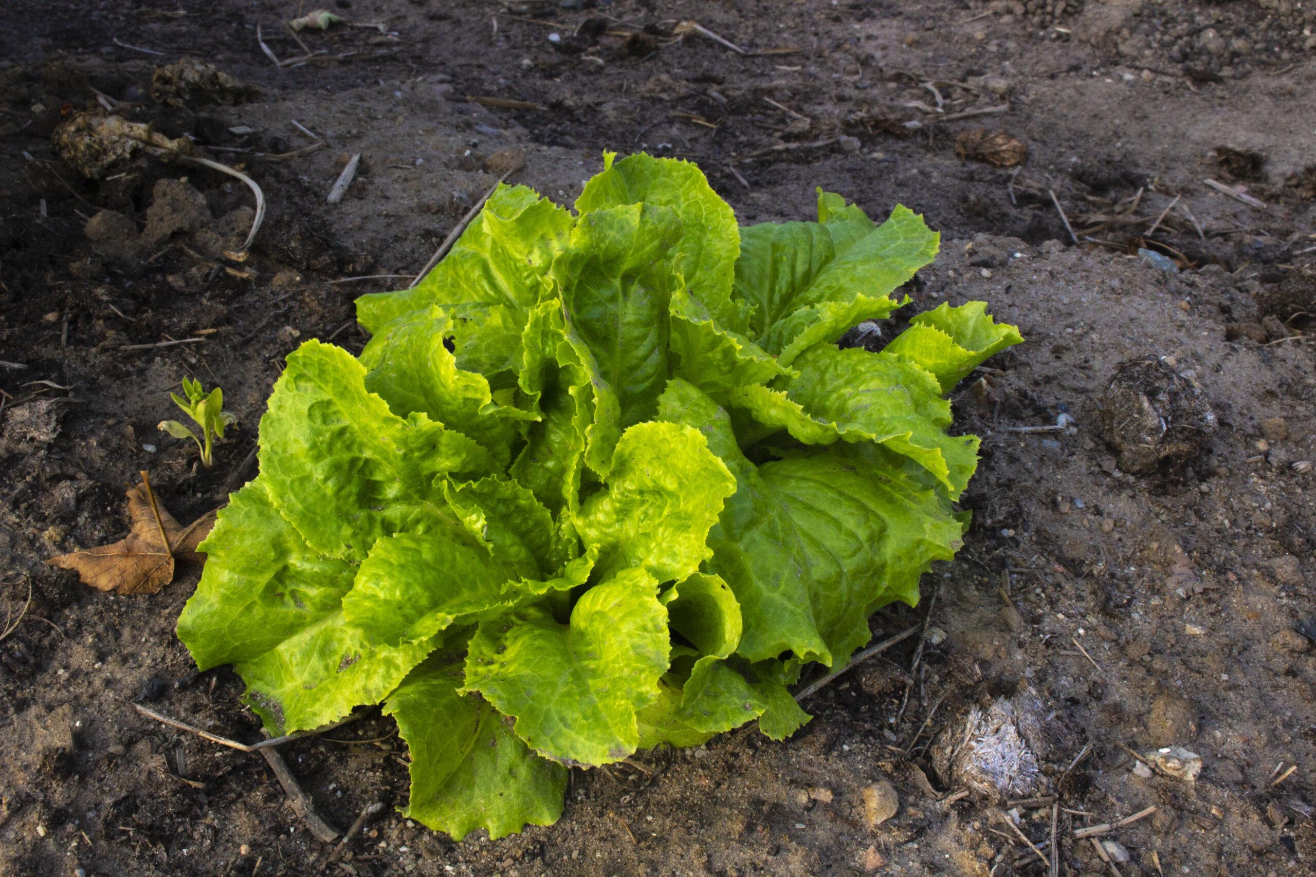Dyrk salat – Sådan gør du