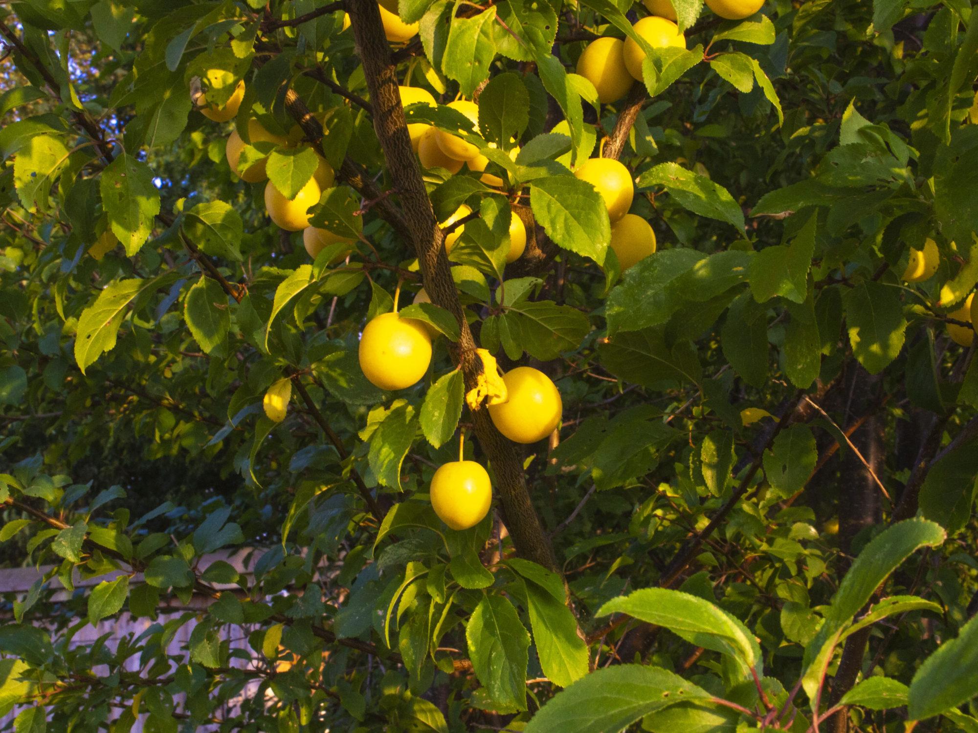 Temahave-Frugthaven