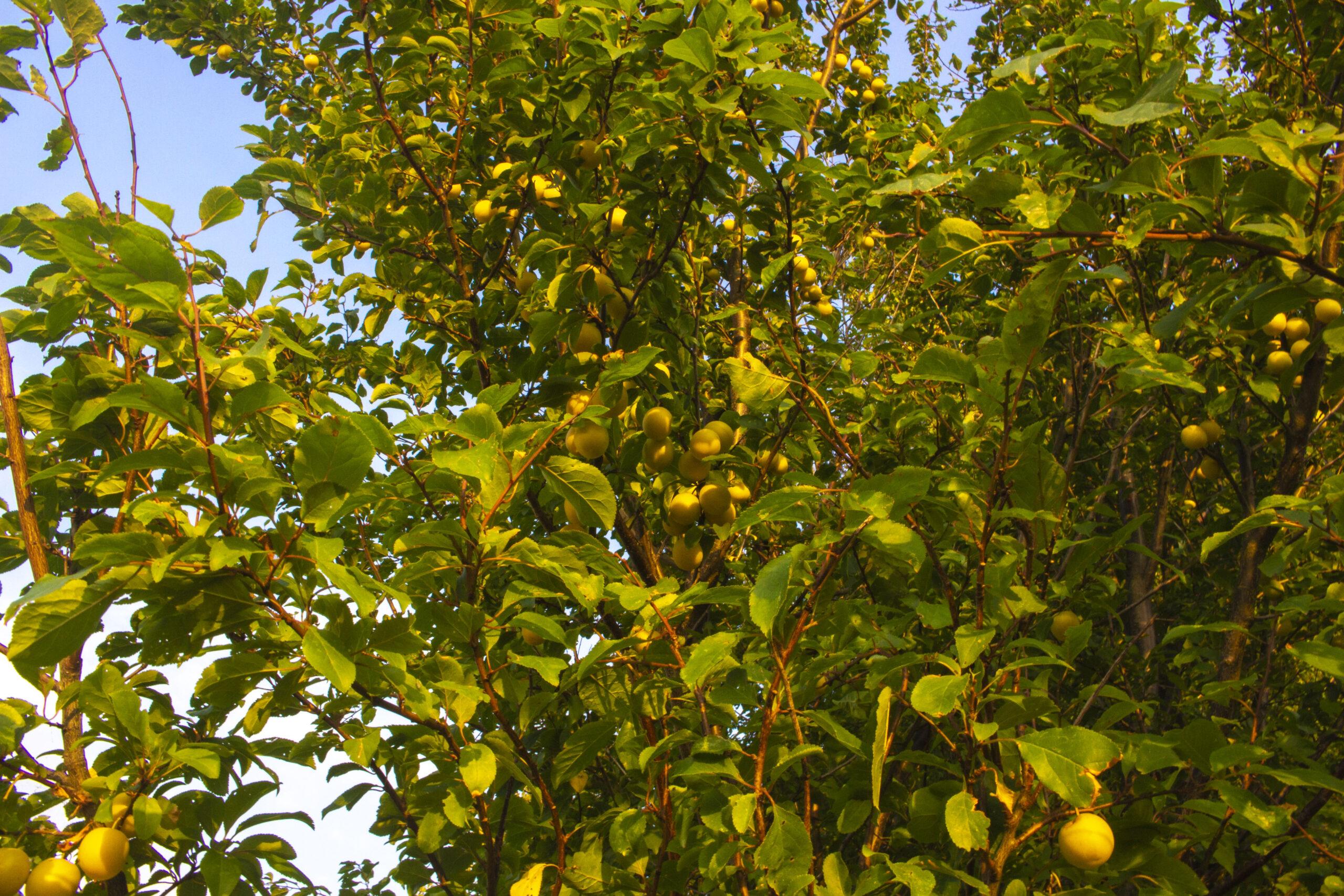 Hvilke frugttræer & frugtbuske skal jeg plante?