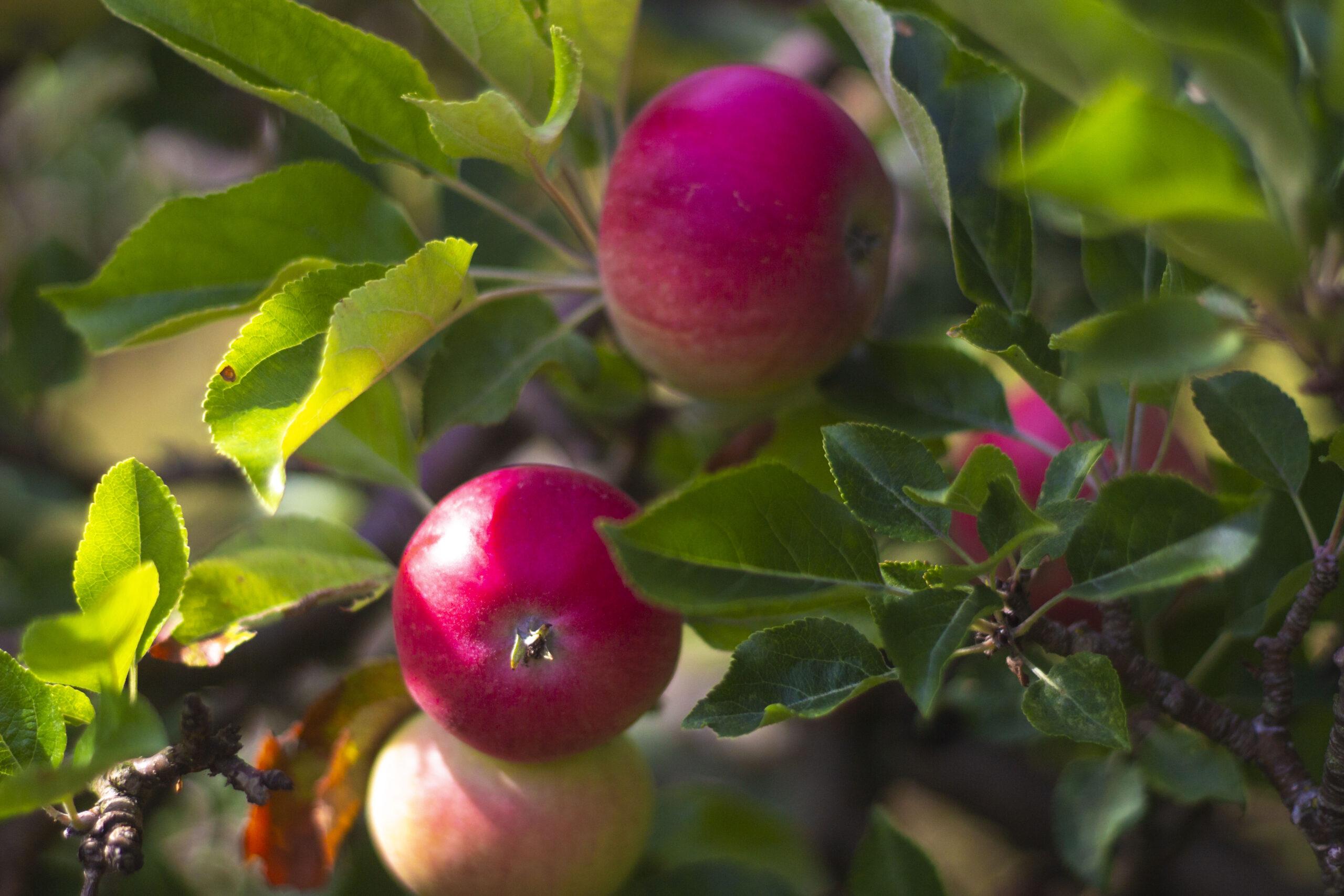 Æbletræer & æblesorter