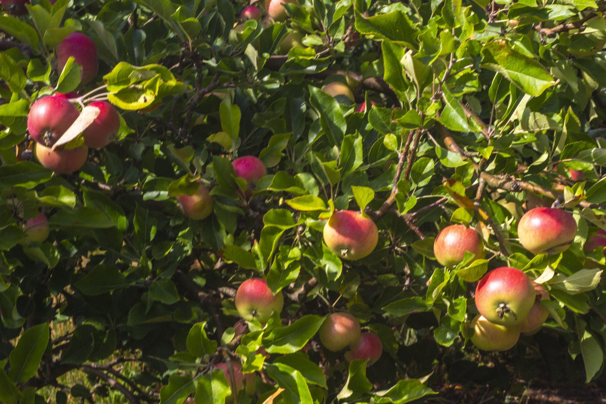 Mange forskellige æblesorter
