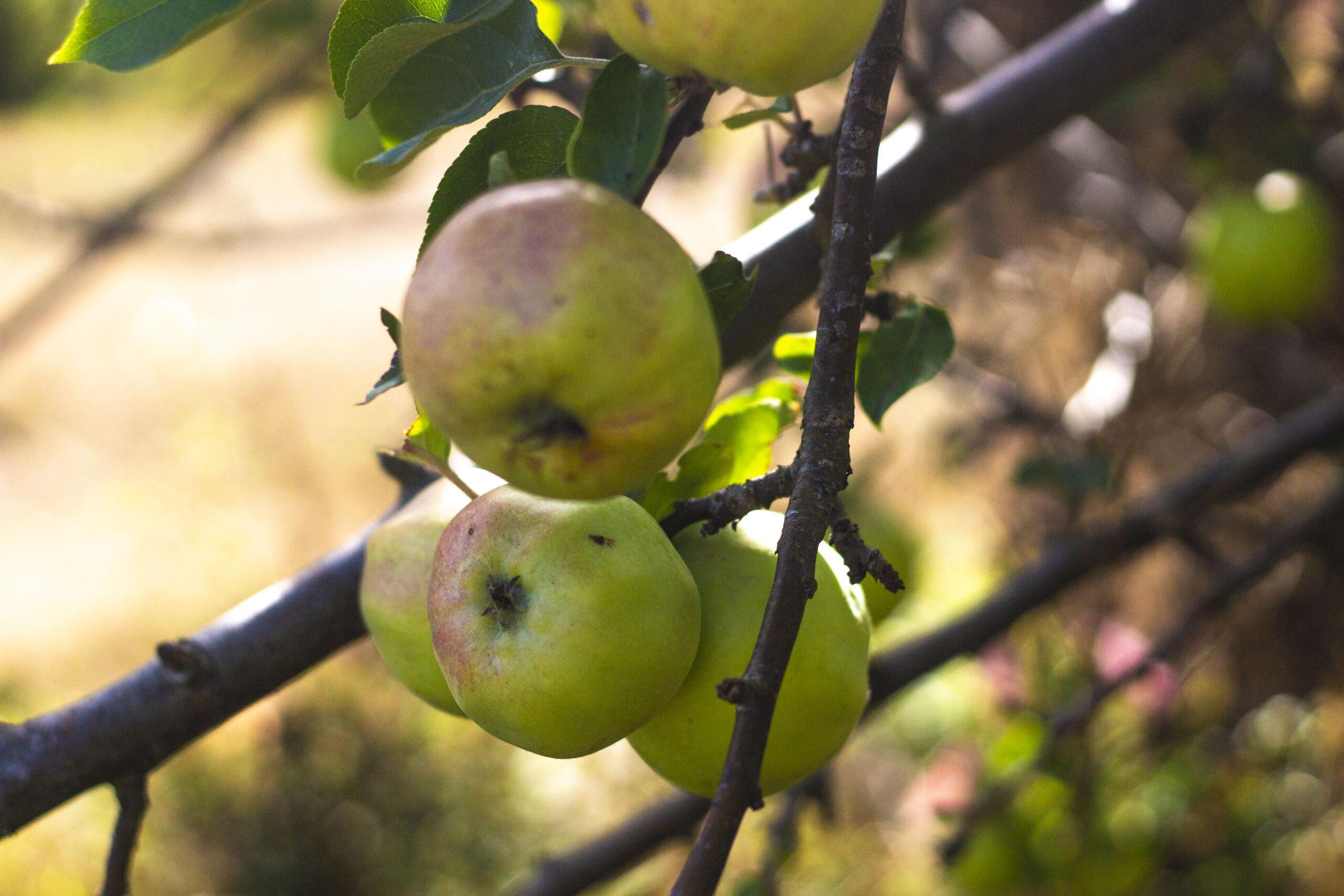 10 æbletræer til haven