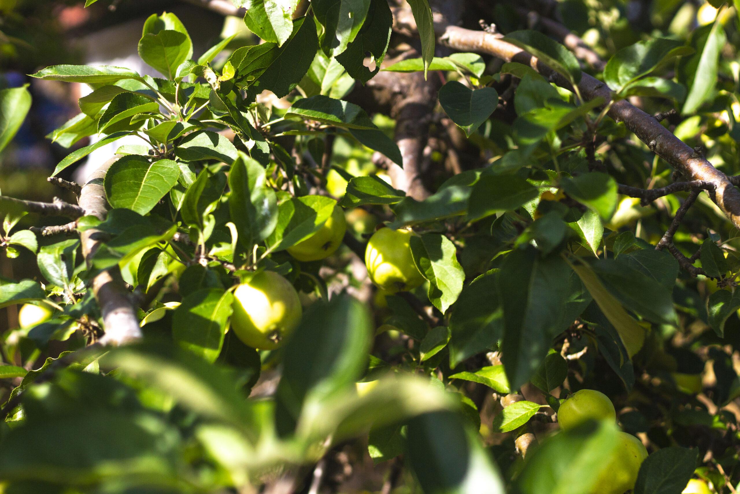 Hvad med beskæring af æbletræer