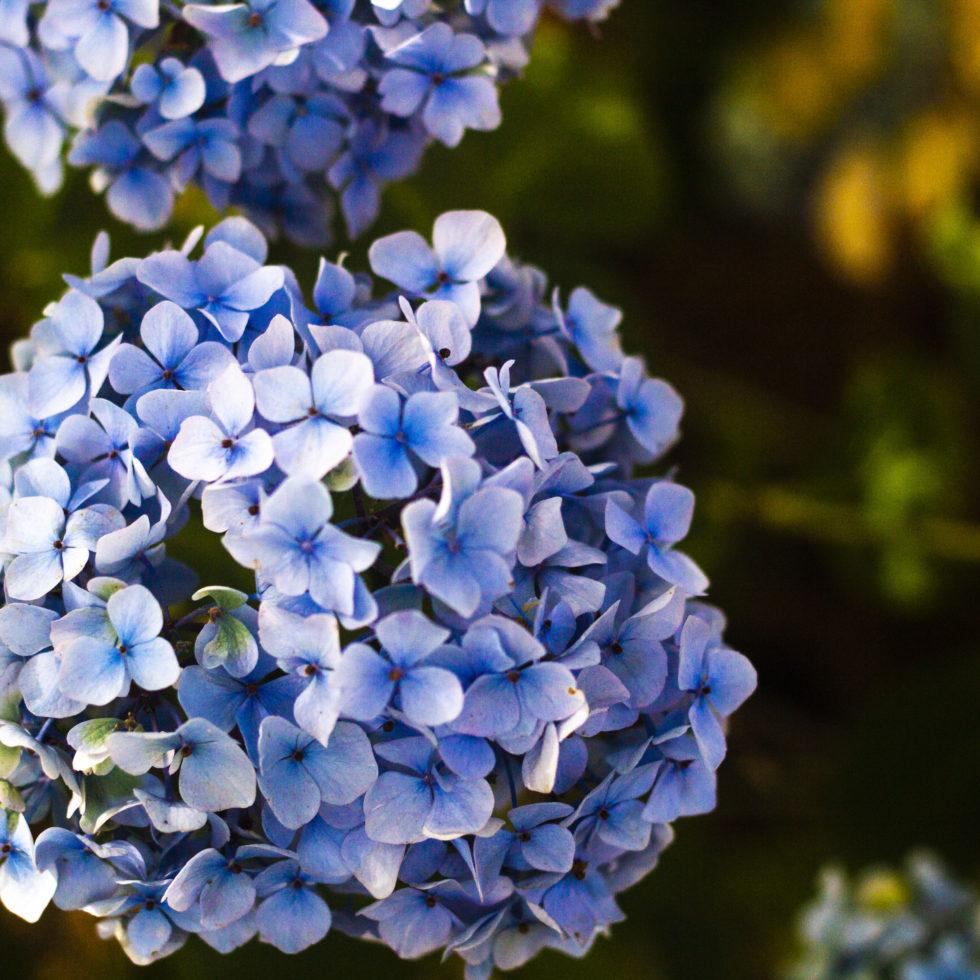 Hortensia – Fra udplantning til buketter