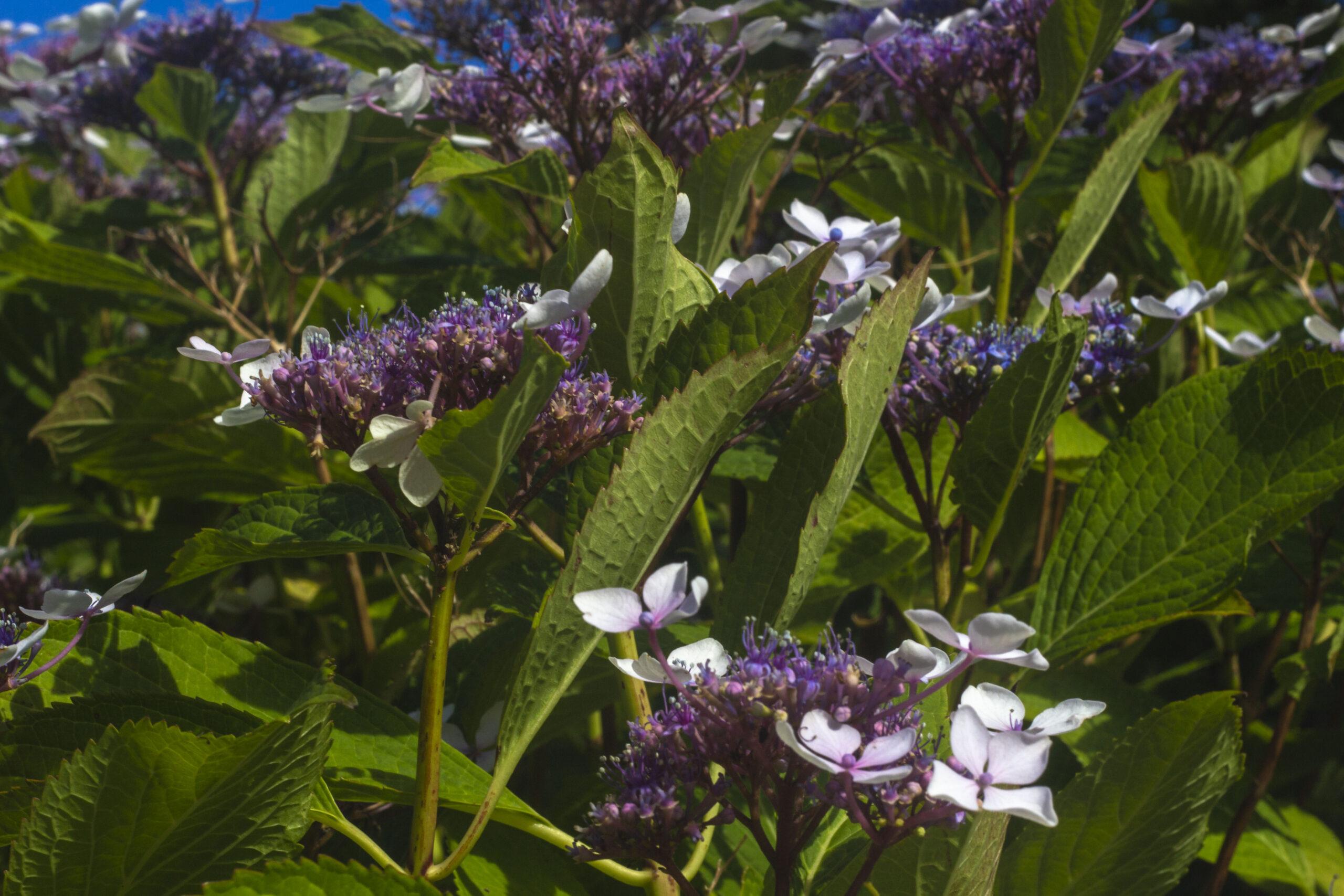 Brug hortensias blomster til buketter & kranse