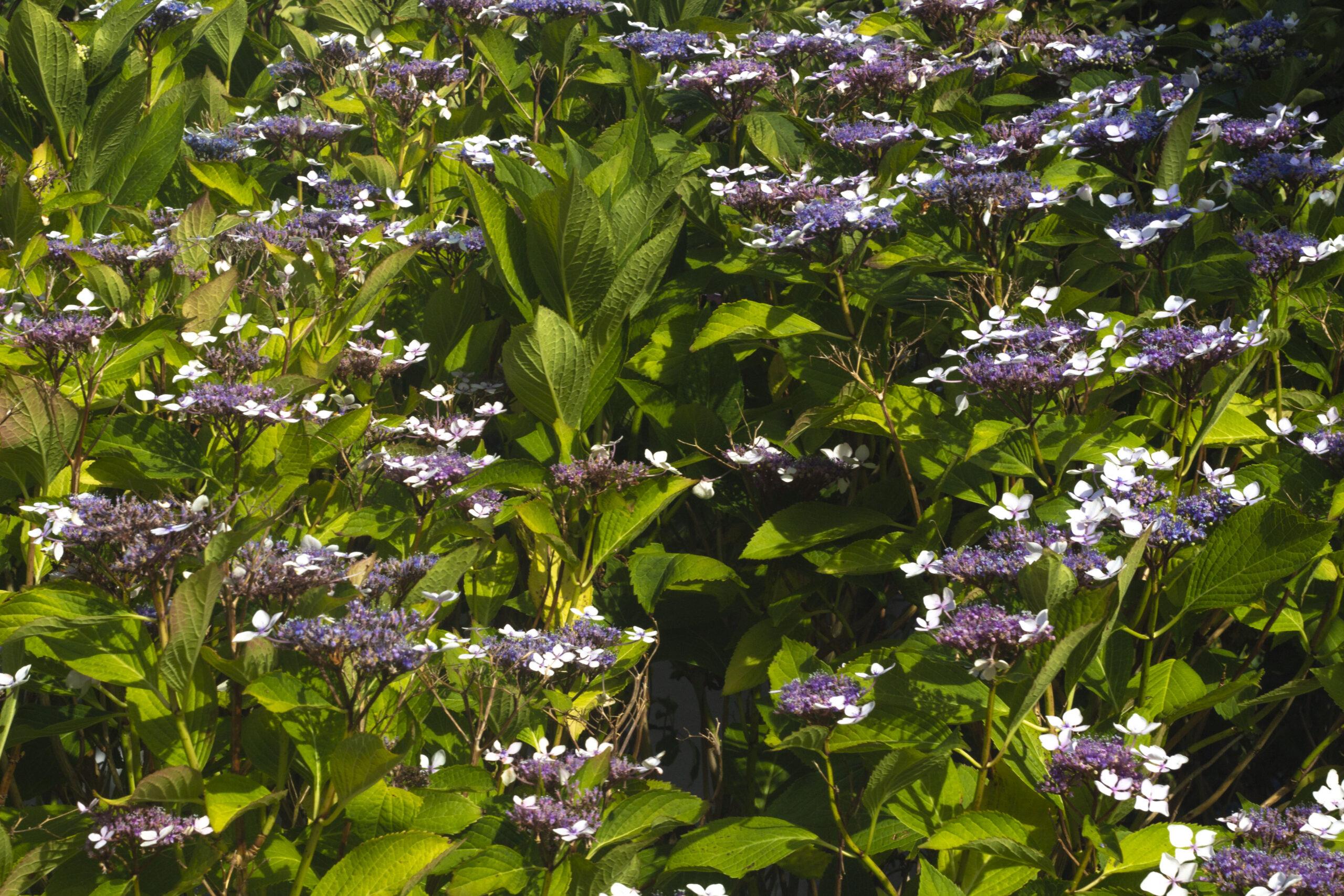 Vælg den rigtige type hortensia