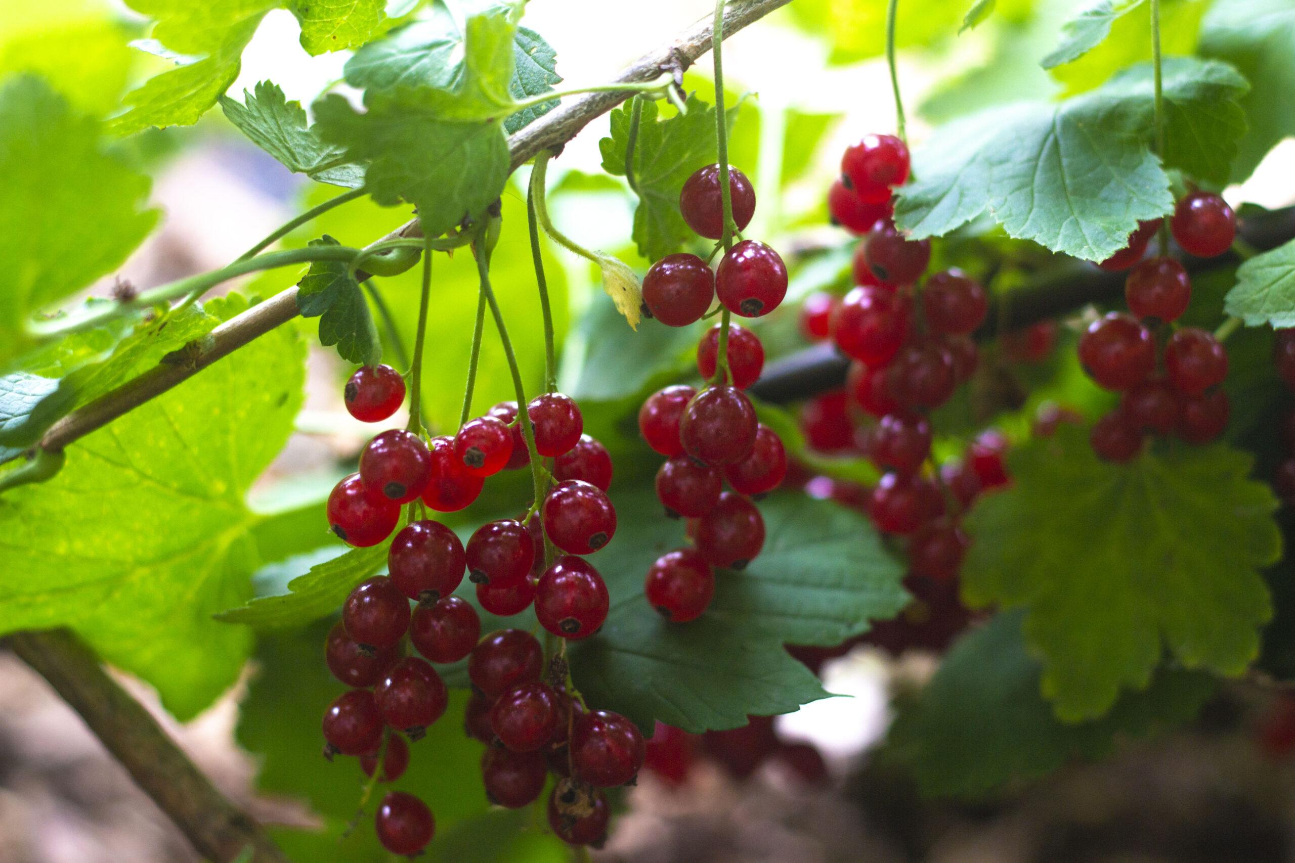 Den første frugthave