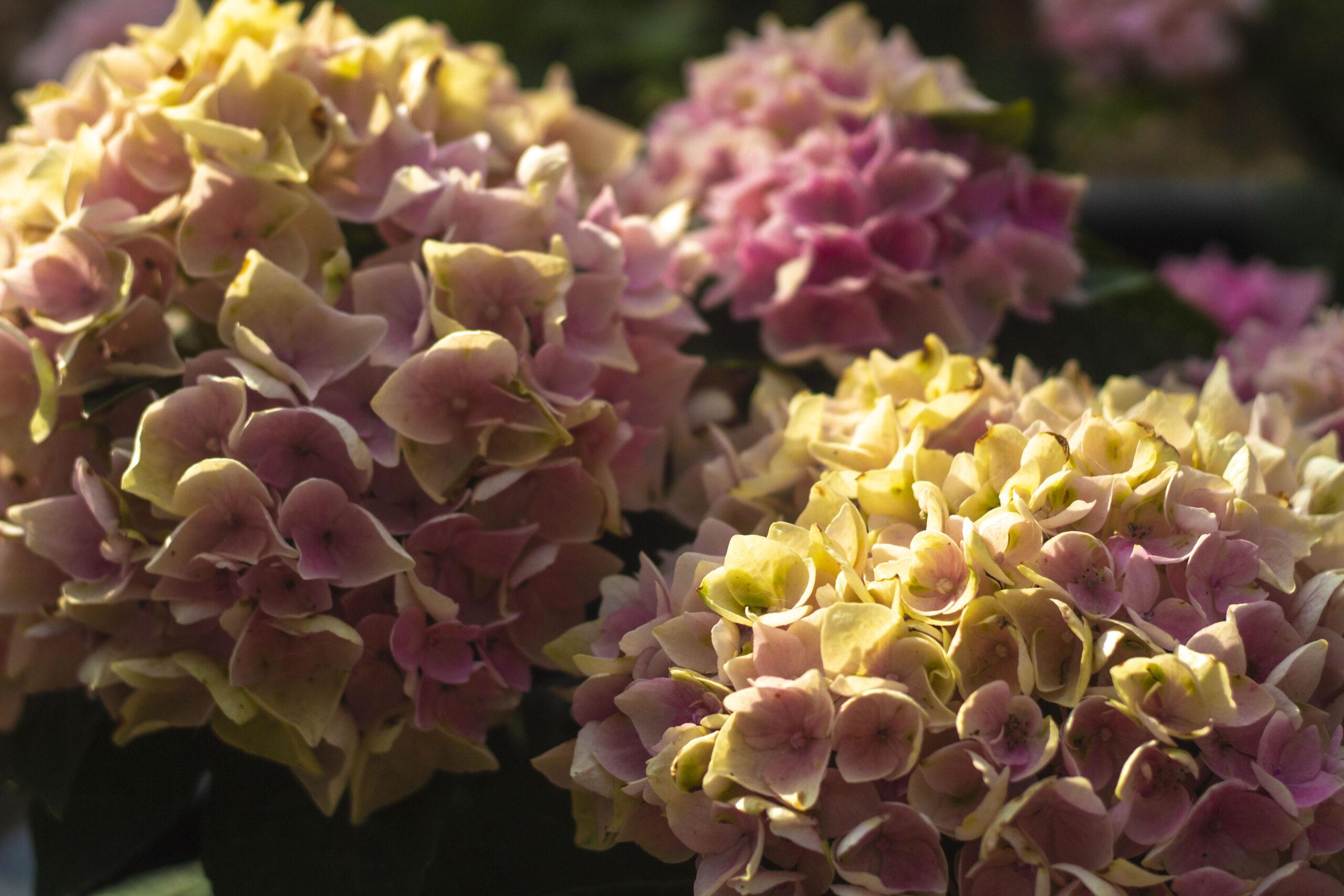 Udplantning og pasning af hortensia