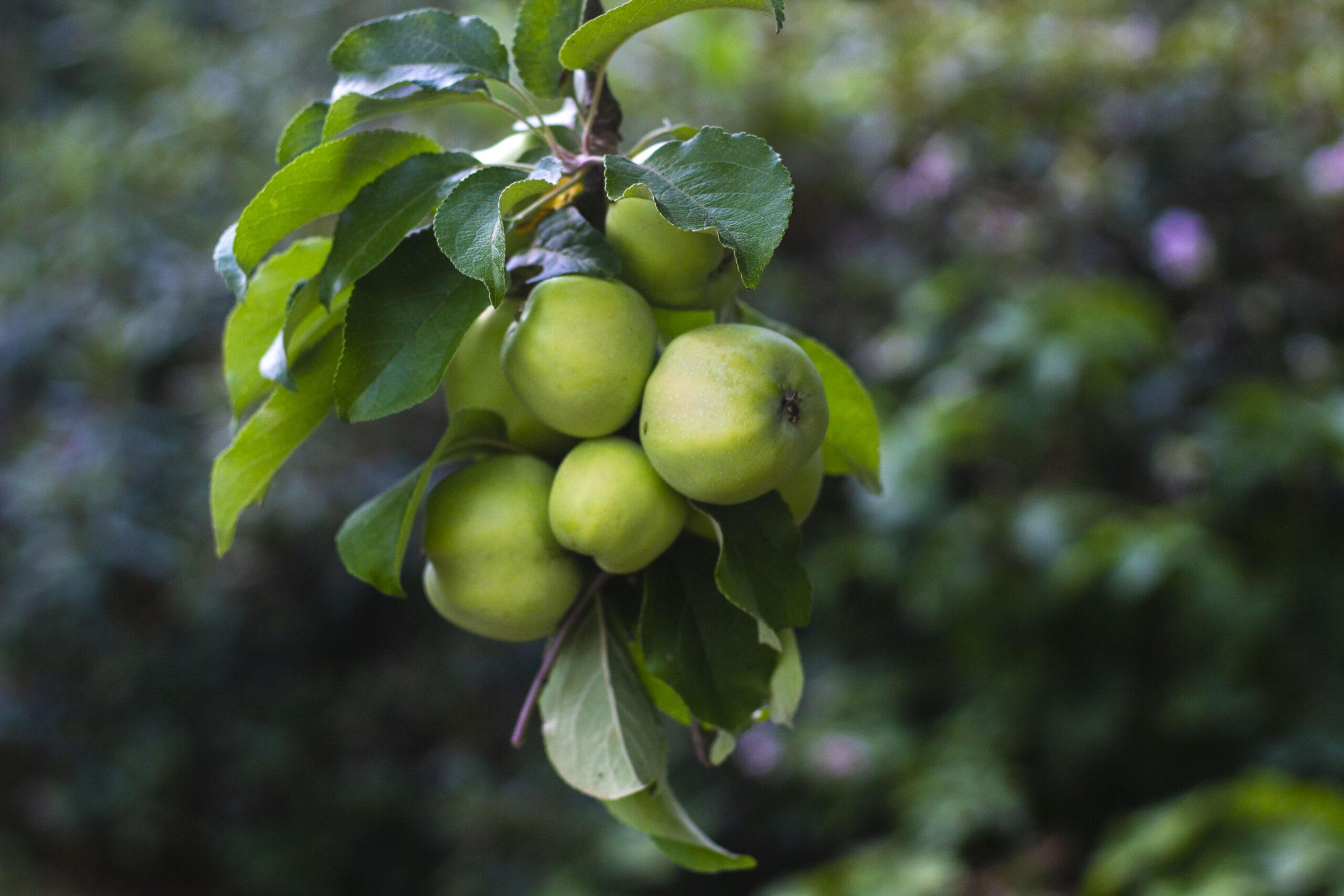 Plantning af æbletræer