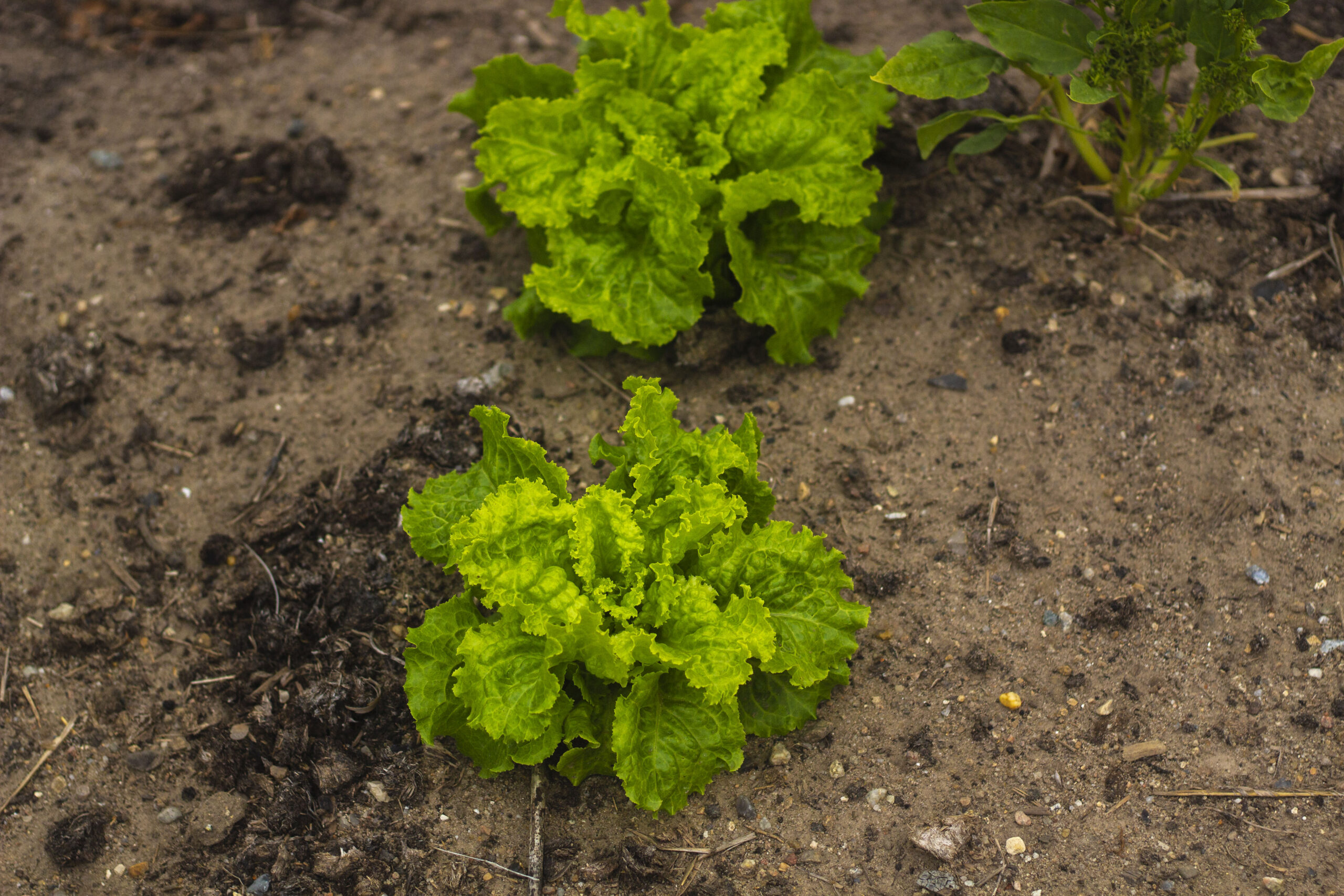 Plant ofte salat i haven