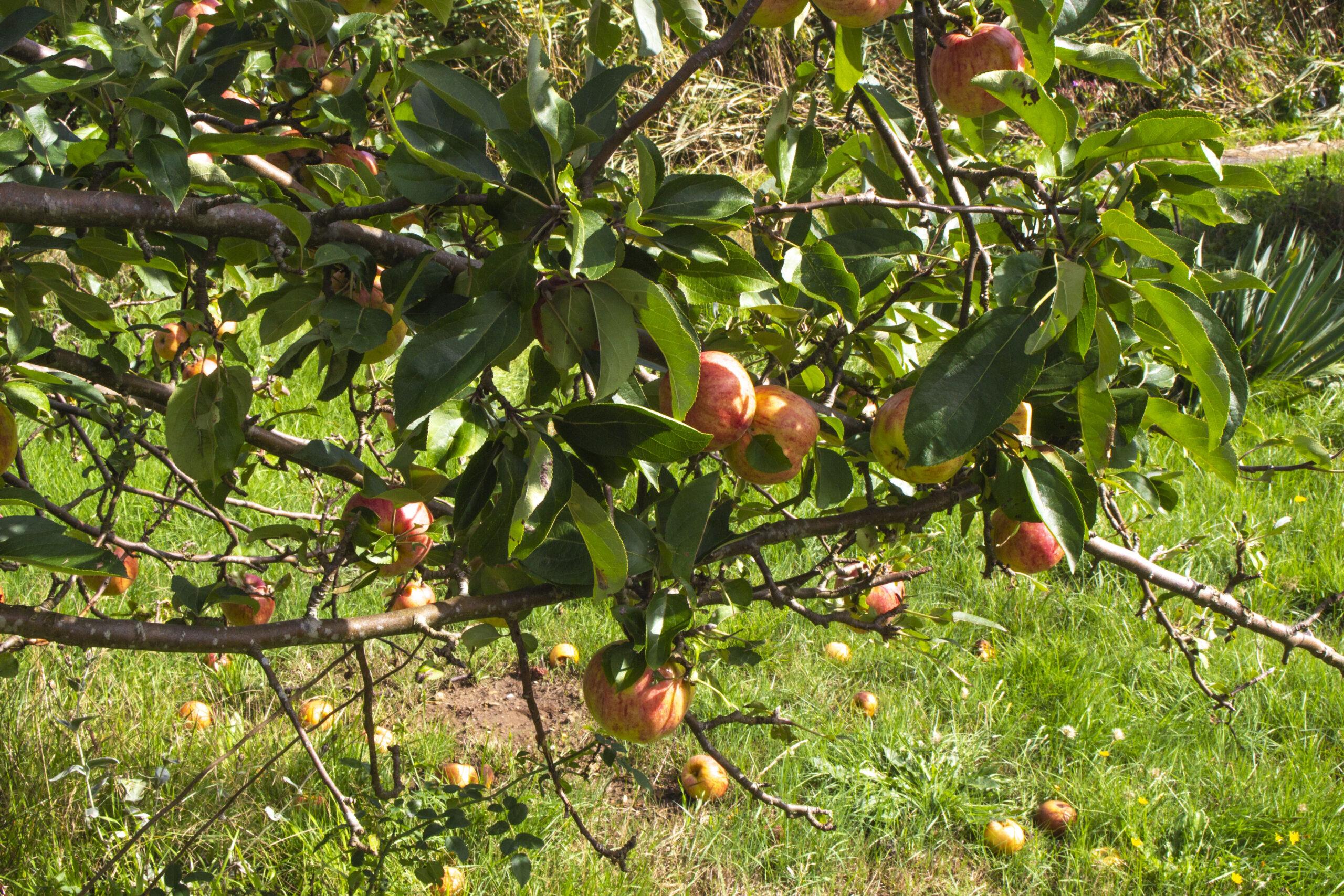 Vælg de rigtige æblesorter