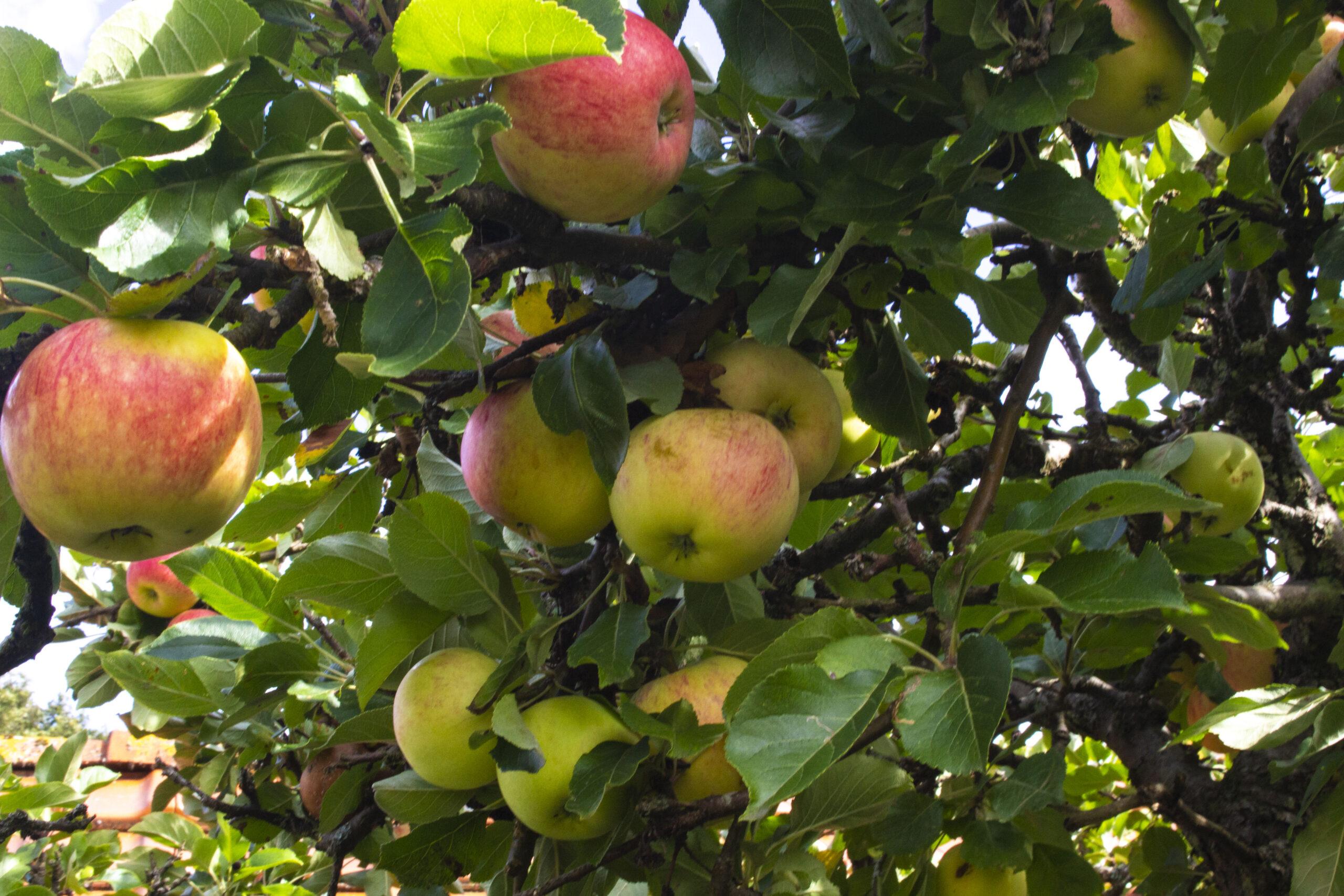 Bestøvning af æbletræ – Kald på bierne