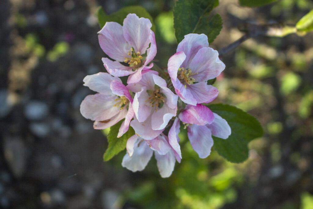 bestøvning af æbletræ