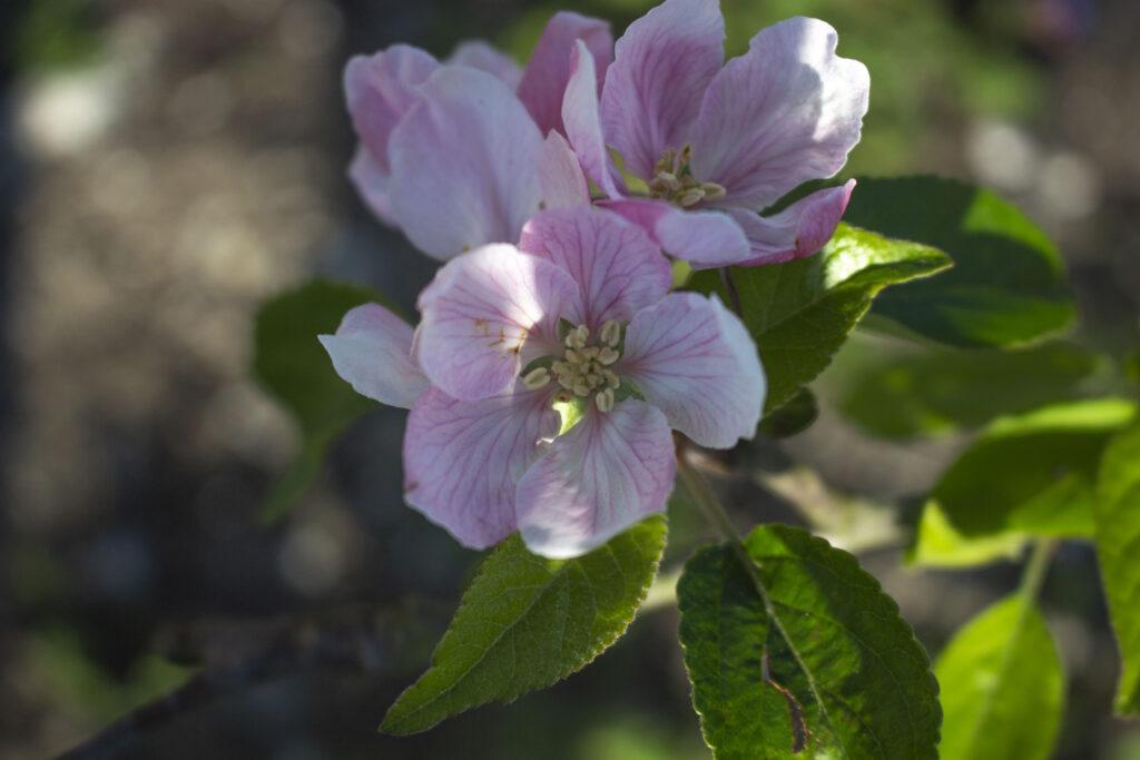 gode æbletræer til espalier og krukke