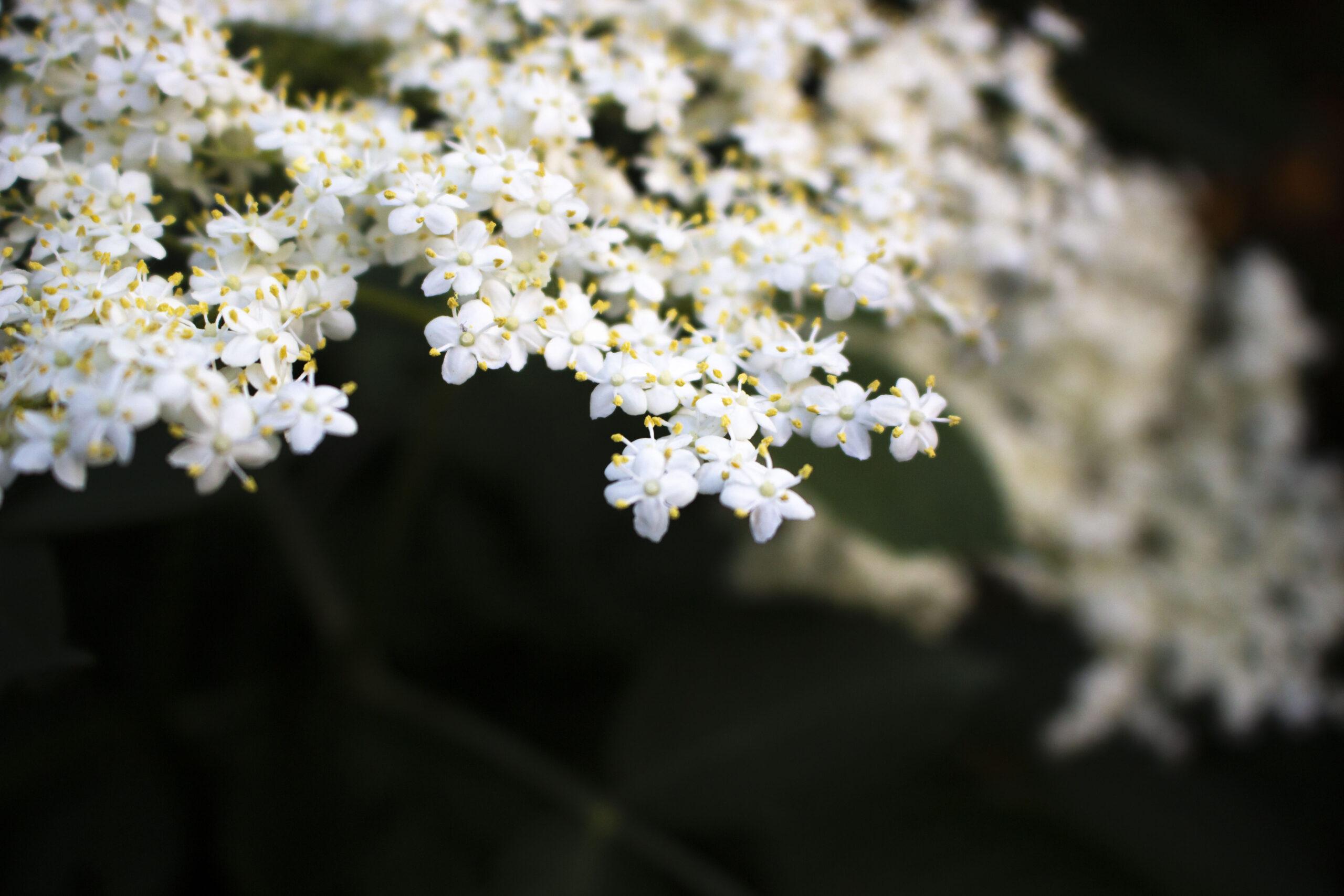 Havens hyldebuske & hyldetræer – En ganske særlig duft