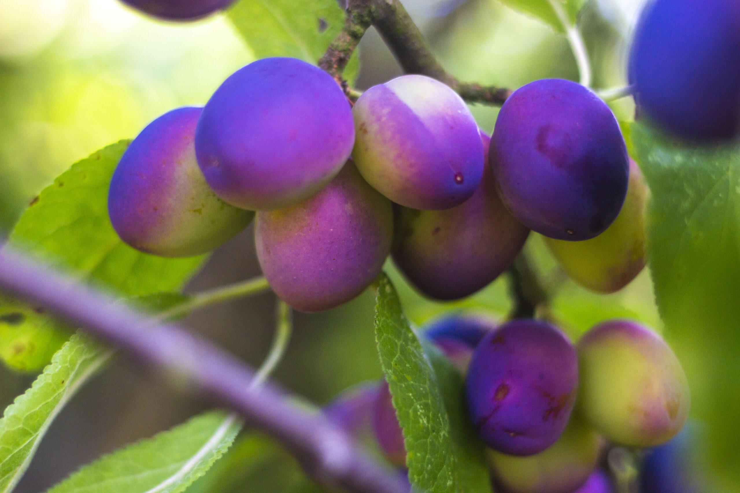 Plant et blommetræ & smag forskellen