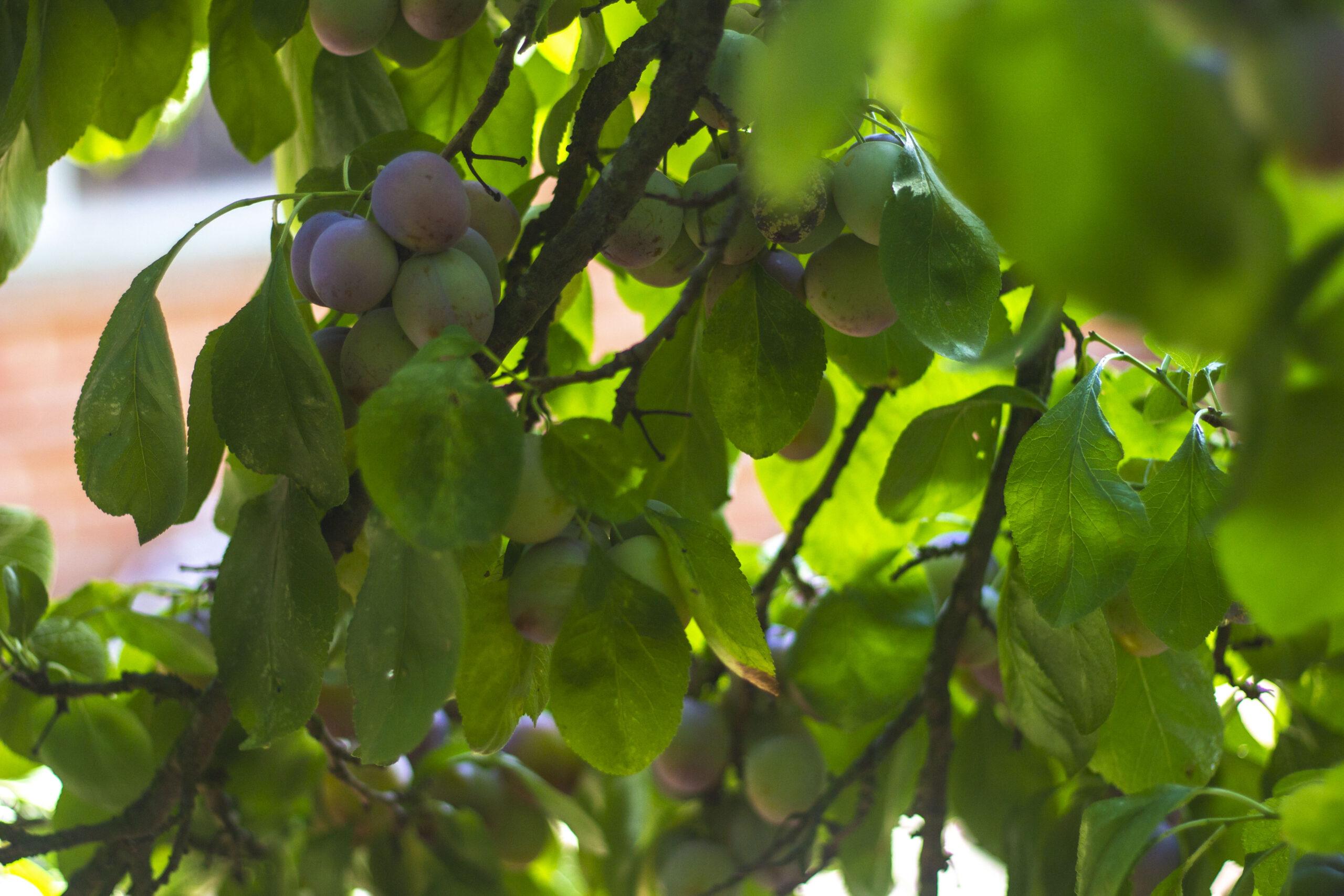 Når blommetræet angribes af sygdomme & skadedyr