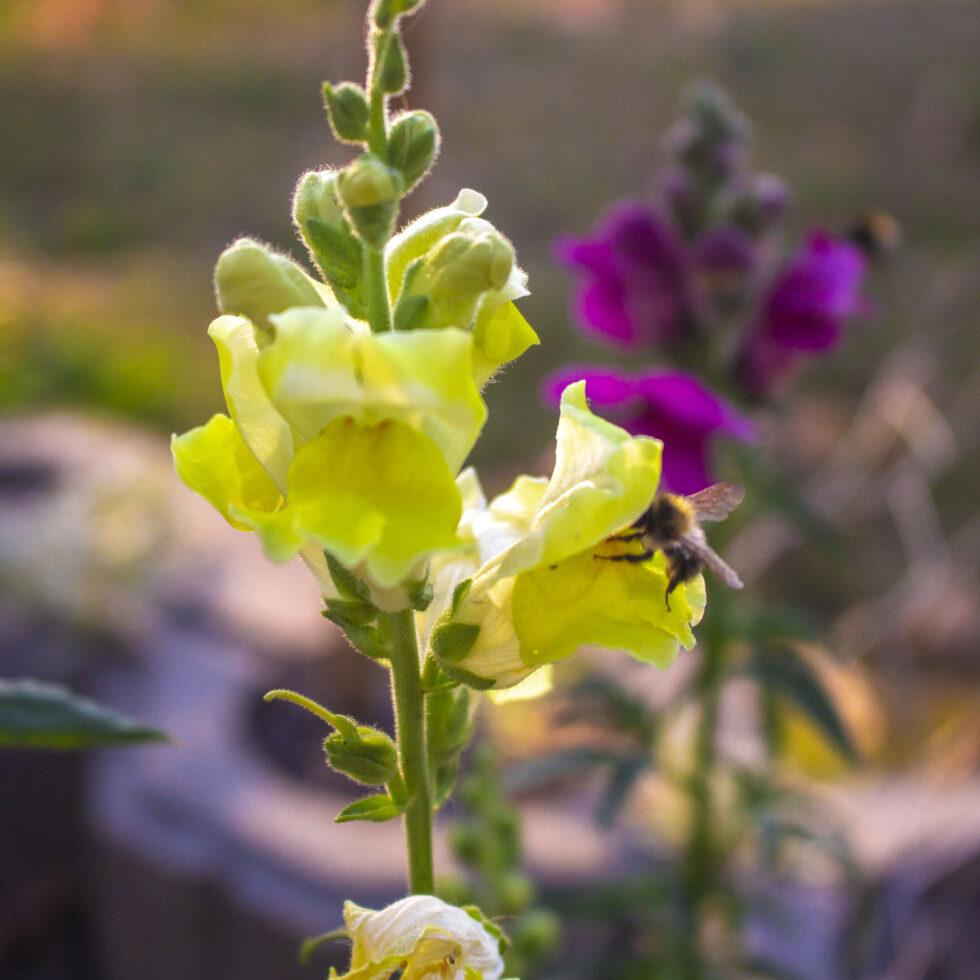 Løvemund – Et farvebrøl af en blomst