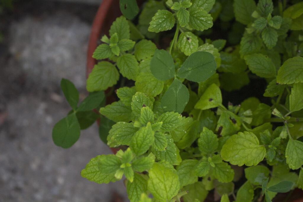 Plant citronmelisse I krukker