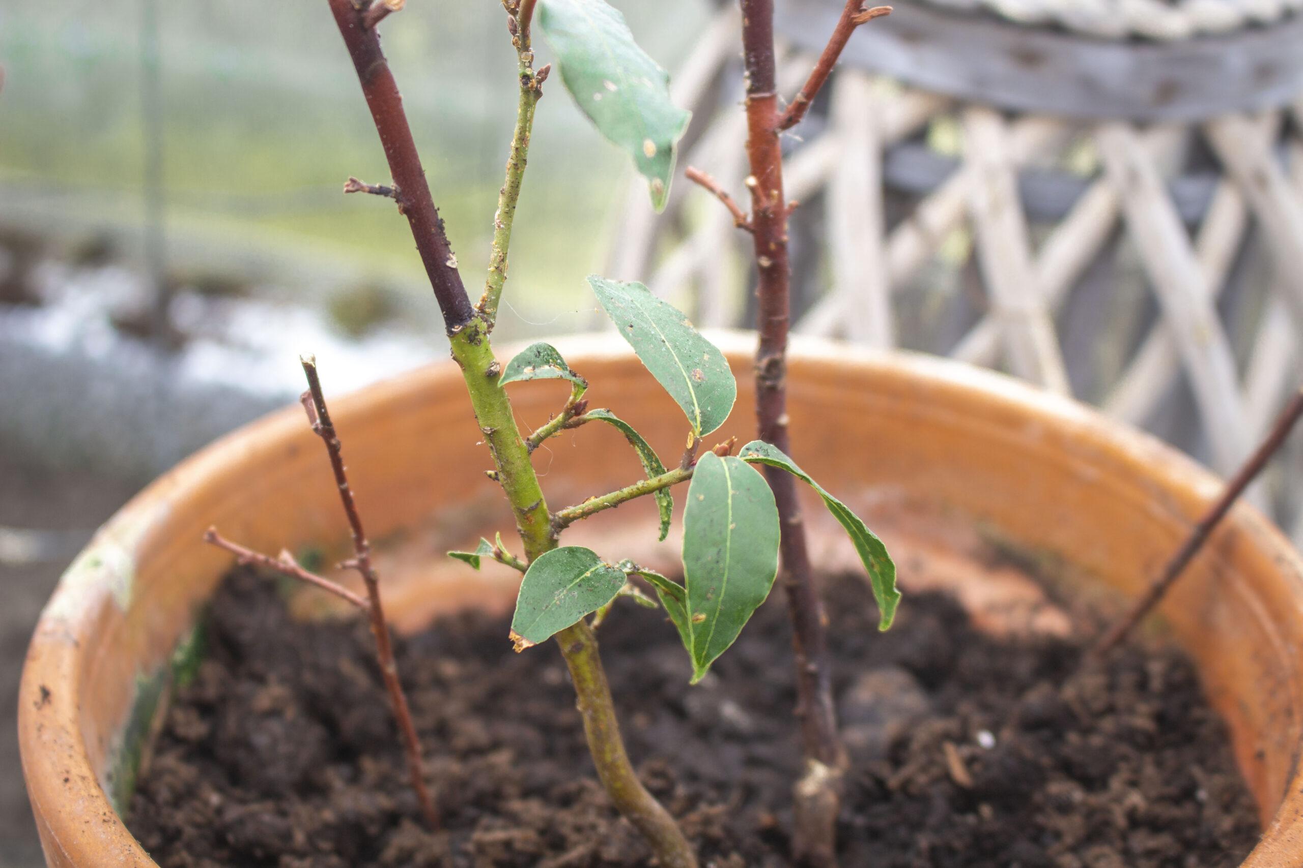 Tørring af laurbærblade