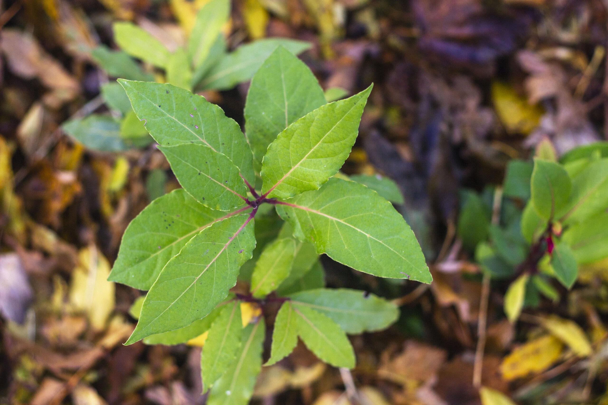 En kuldskær plante