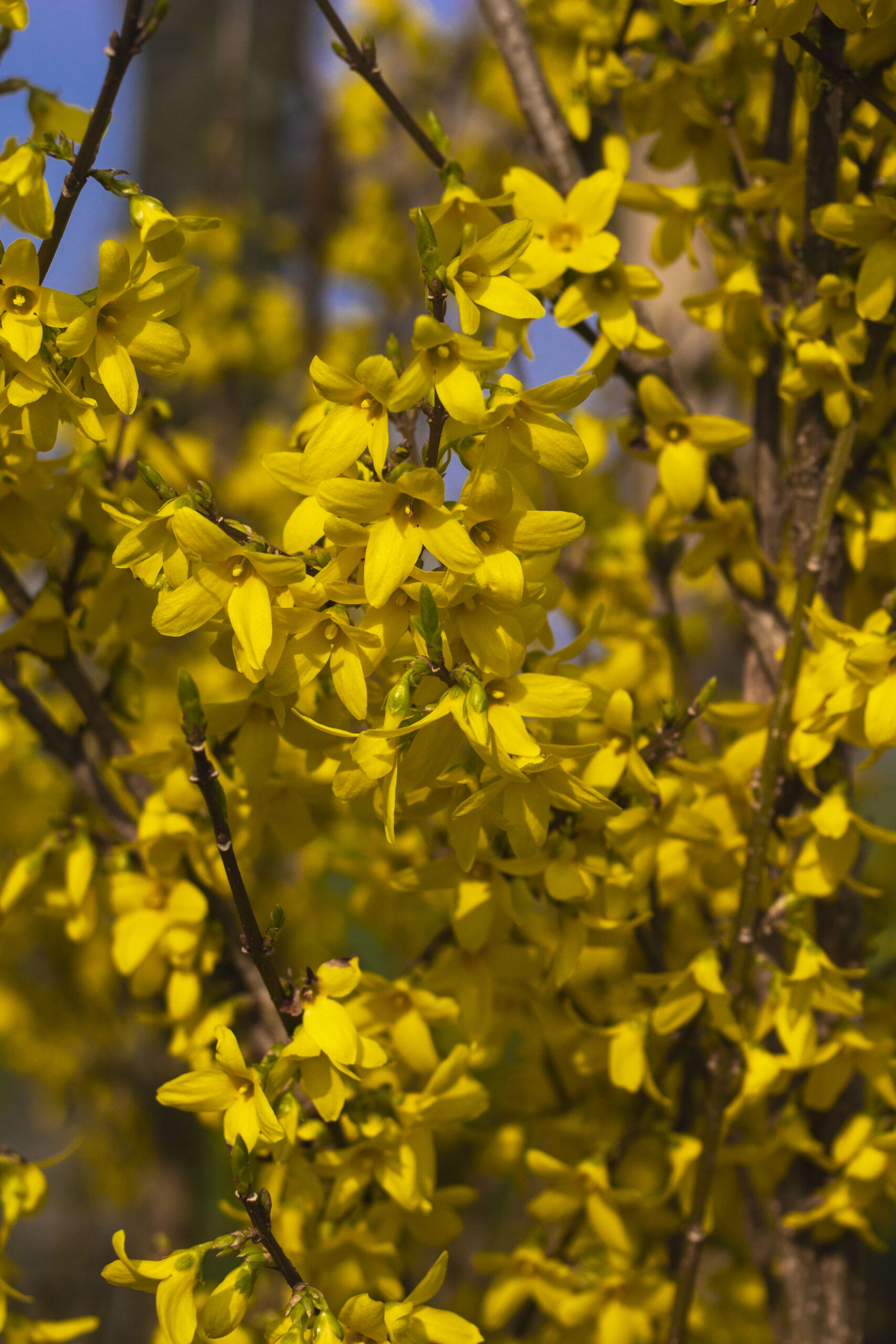 Forsythia – Et gult forårstegn