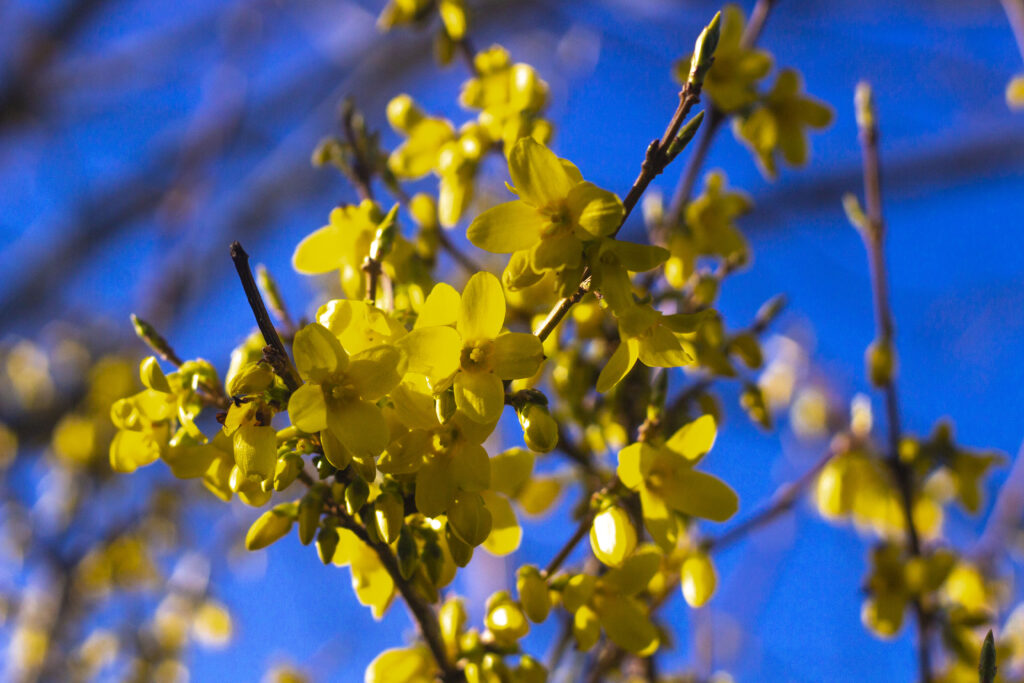 Forsythias blomstringstid