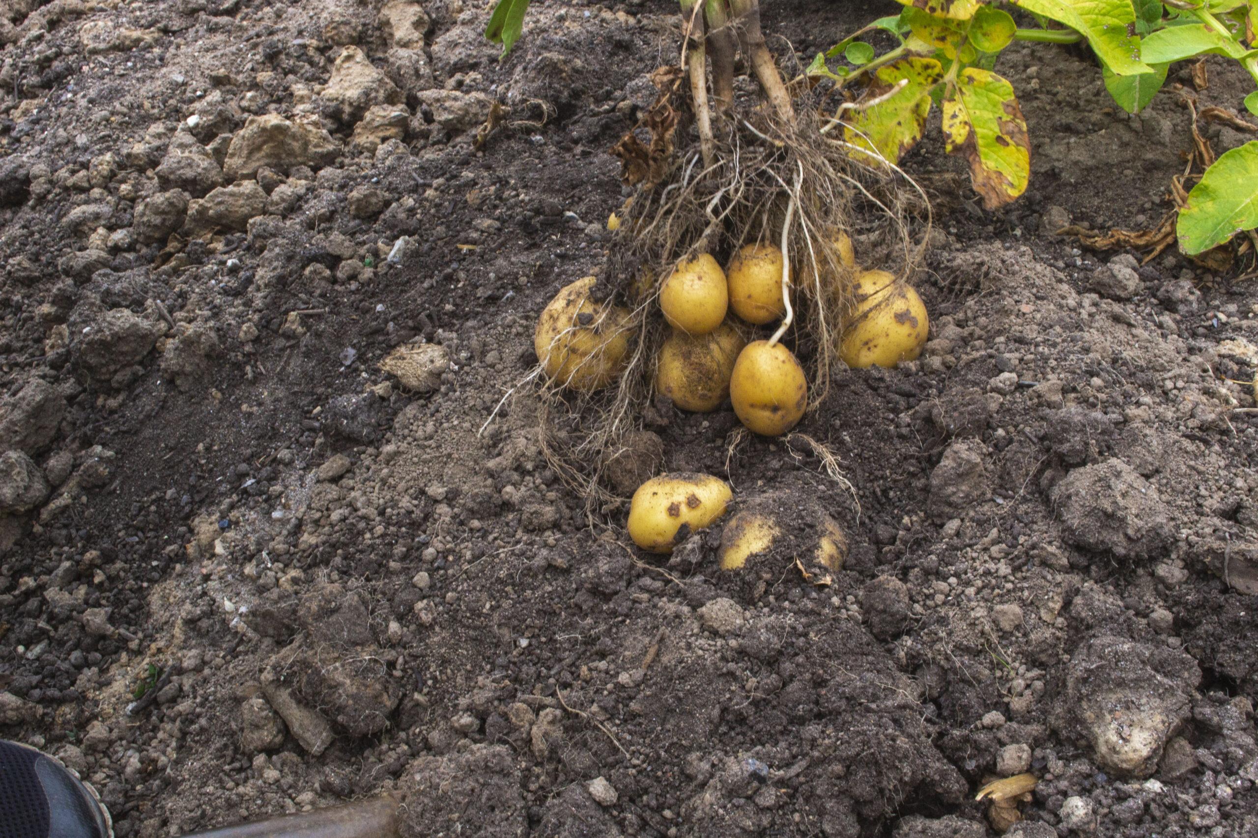Den perfekte læggekartoffel